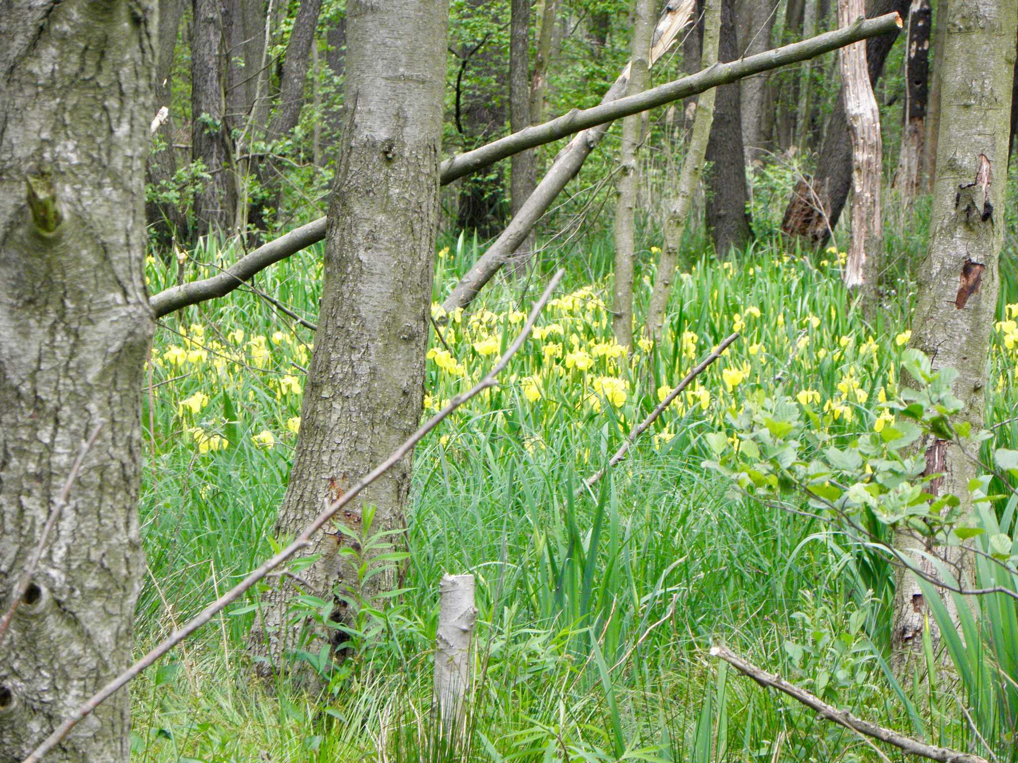 Wasserschwertlilien am Rundweg im Naturpark Slamener Kuthen