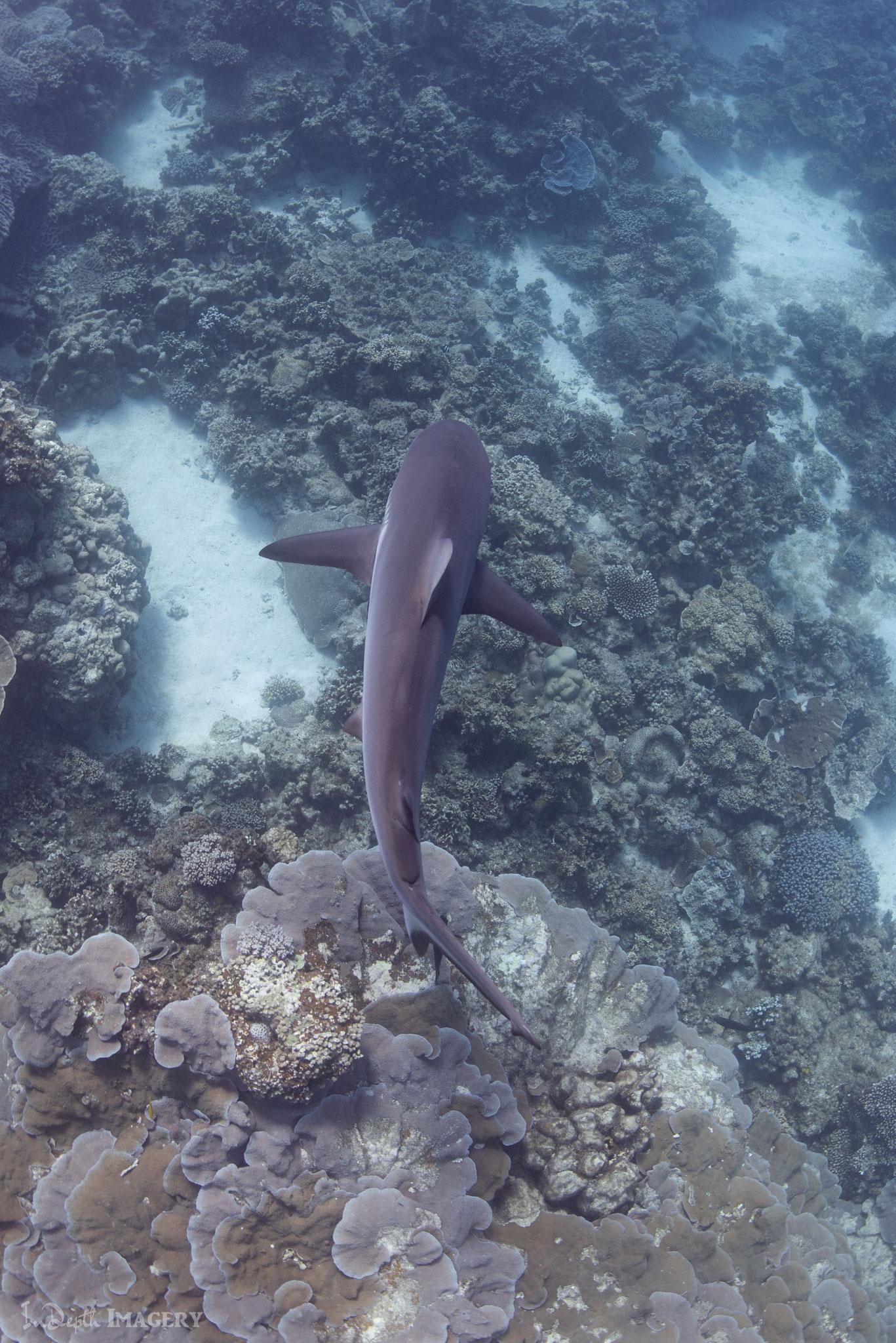 Riffhai in Coral Bay