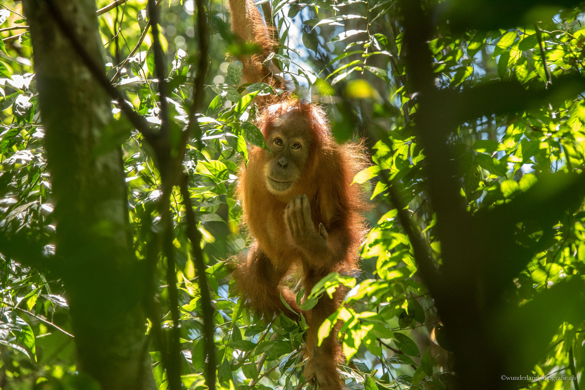 Orang-Utan im Dschungel von Bukit Lawang