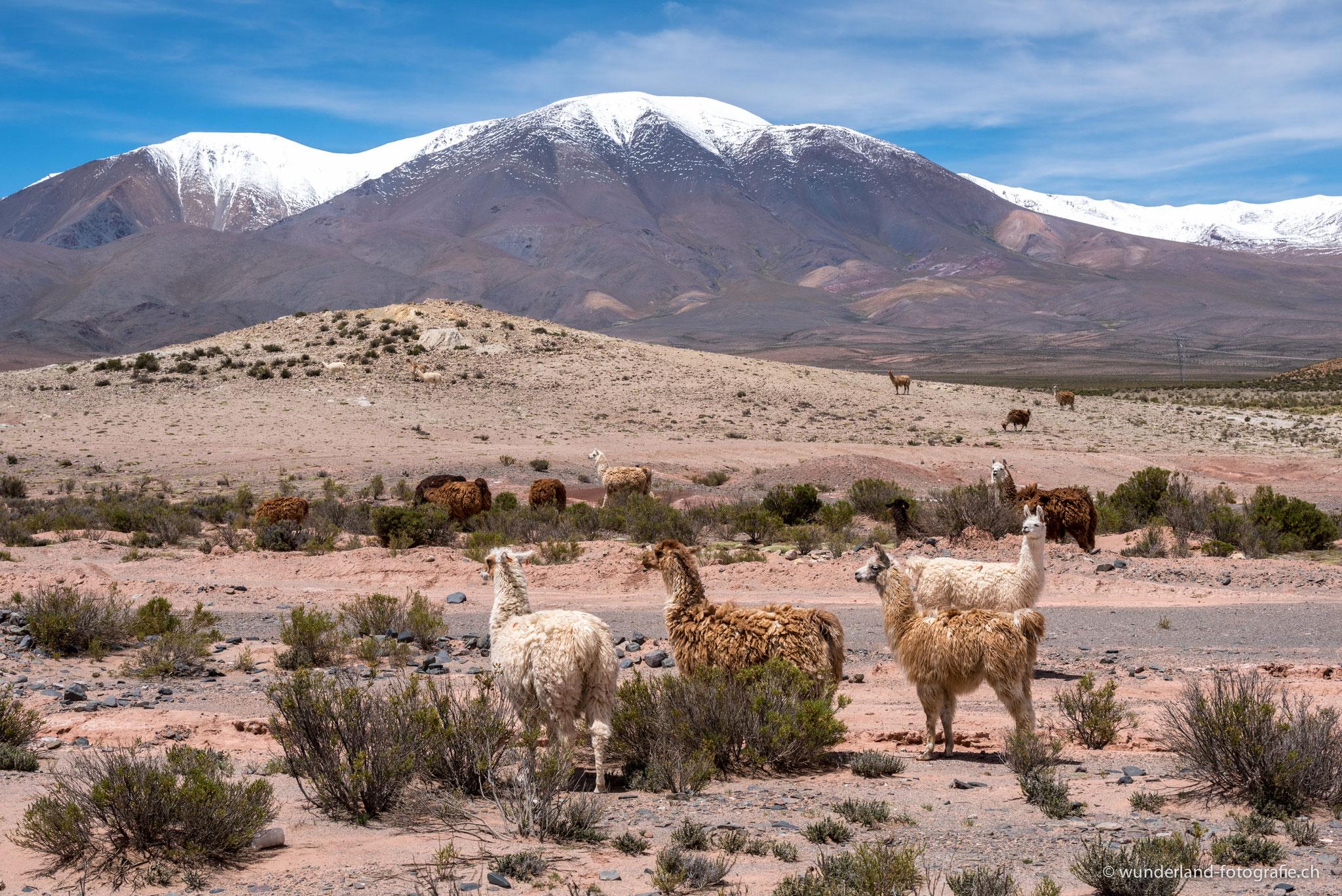 Lamas auf 4000 Meter ü. M.
