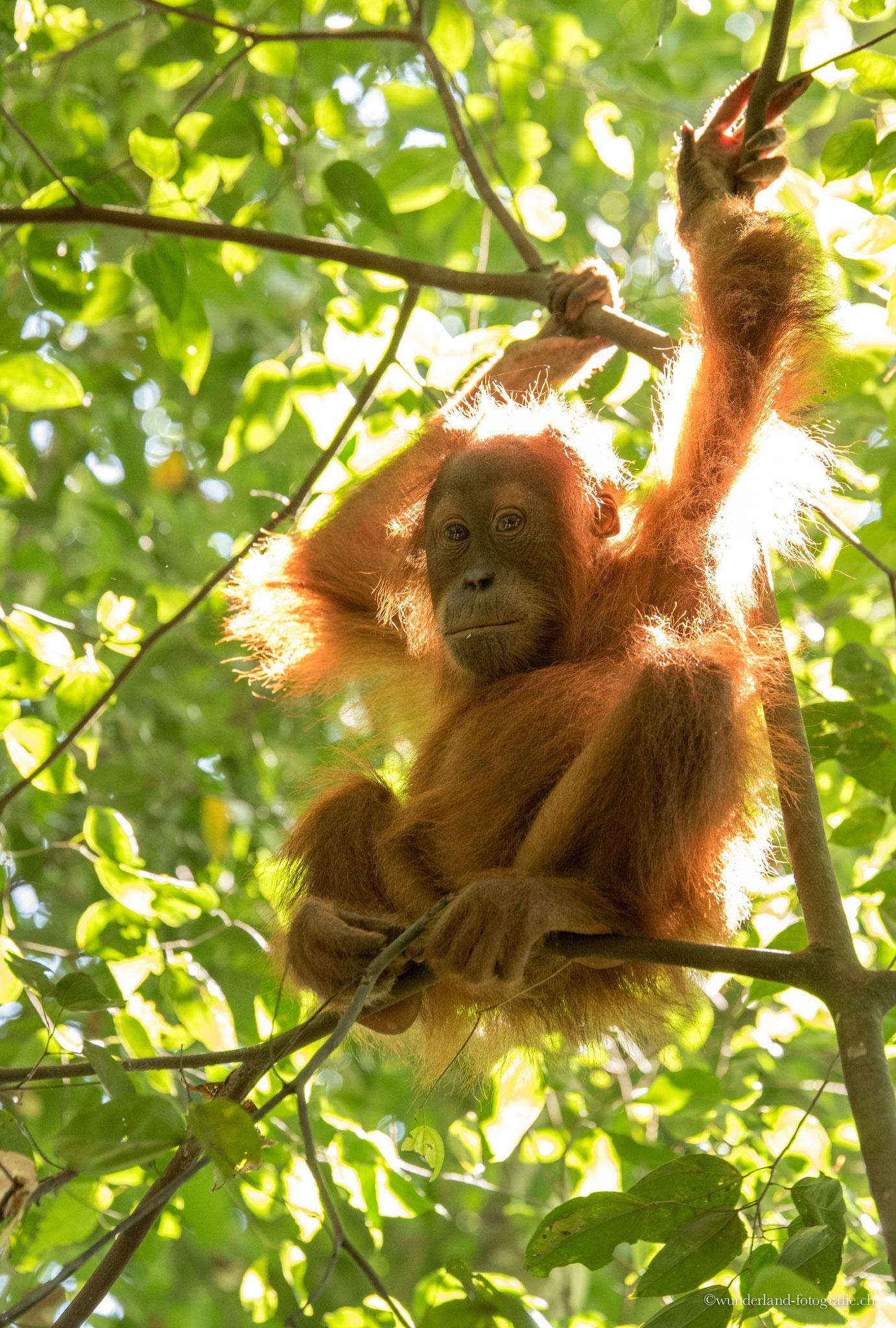 Junger Orang-Utan im Dschungel von Bukit Lawang