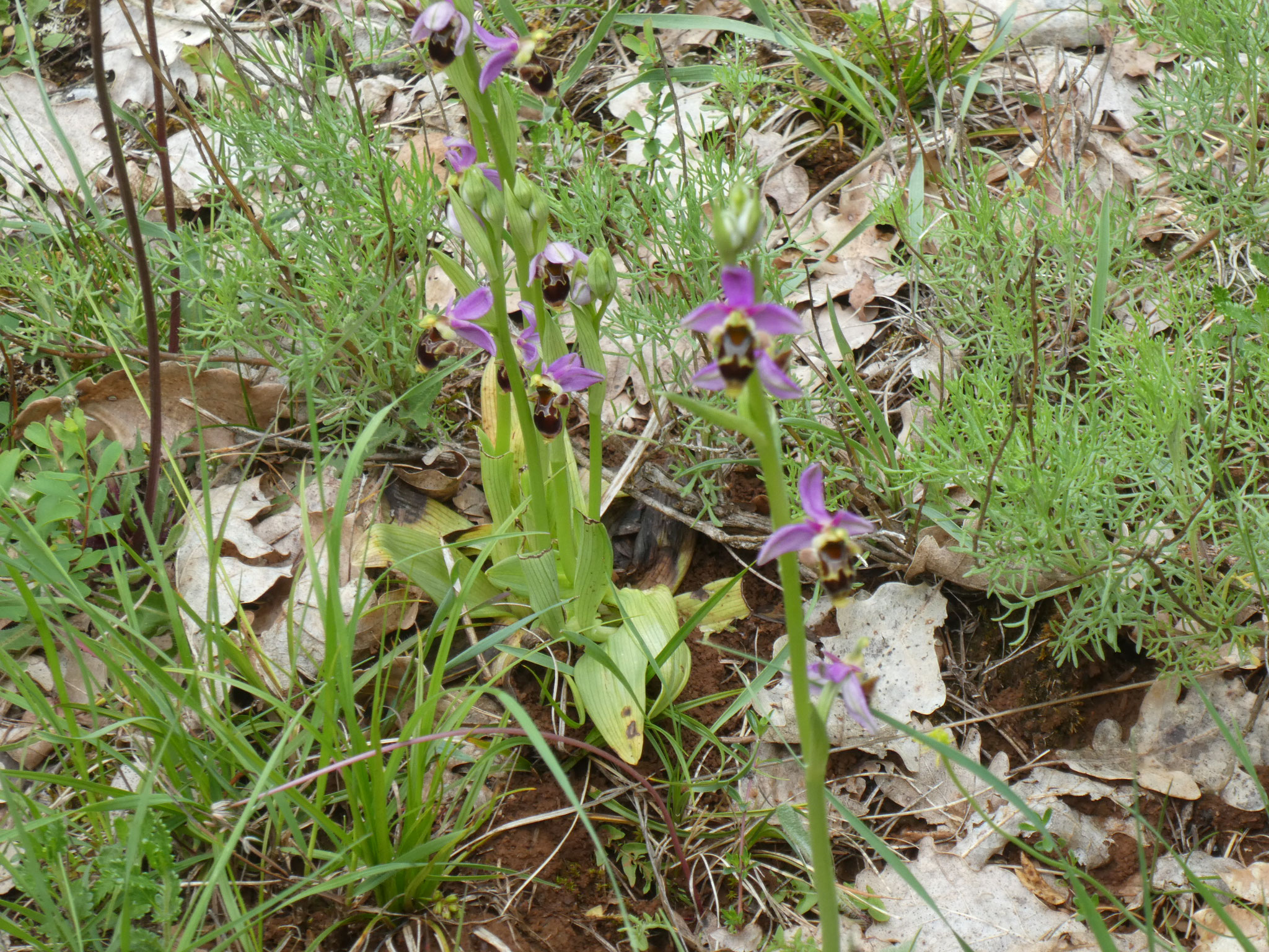 Ophrys bécasse scolopax