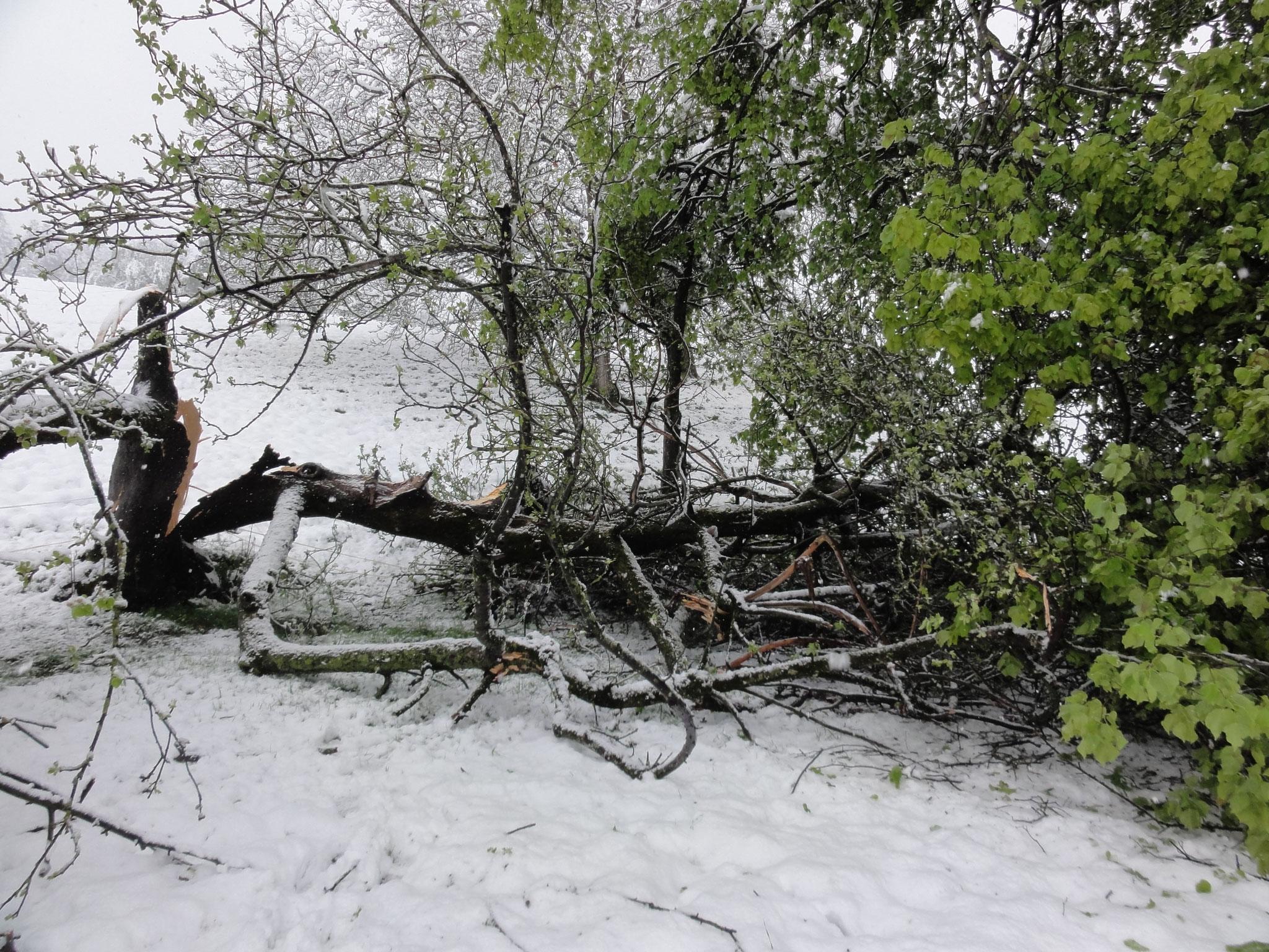 28. April 2017 von der Schneelast gefällt