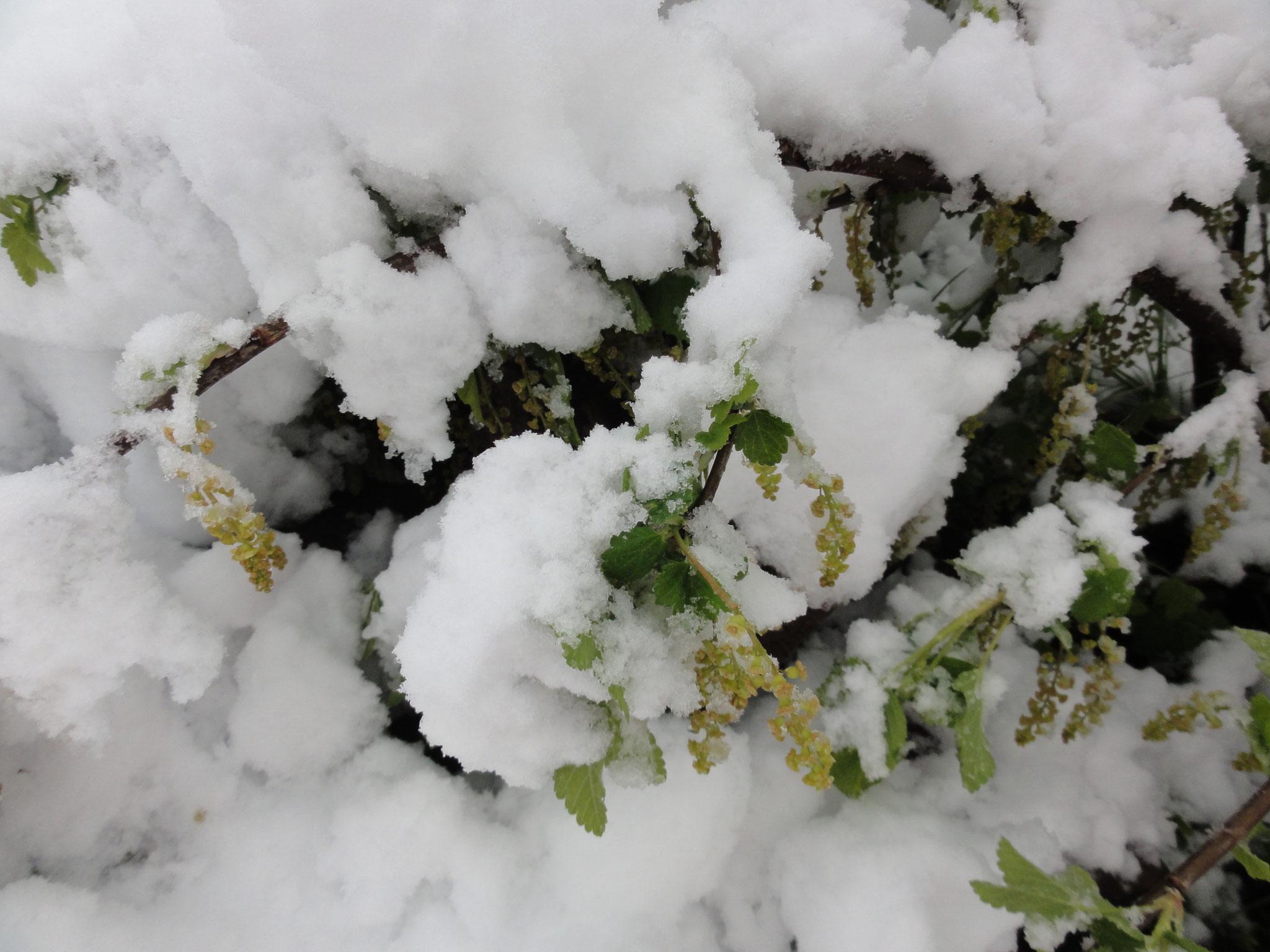 28. April 2017 vom Schnee begrabene blühende Johannisbeeren
