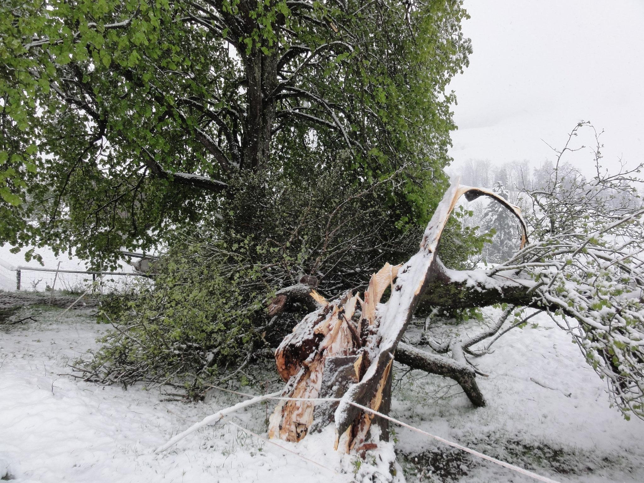 28. April 2017 der älteste Apfelbaum vom Bärengraben