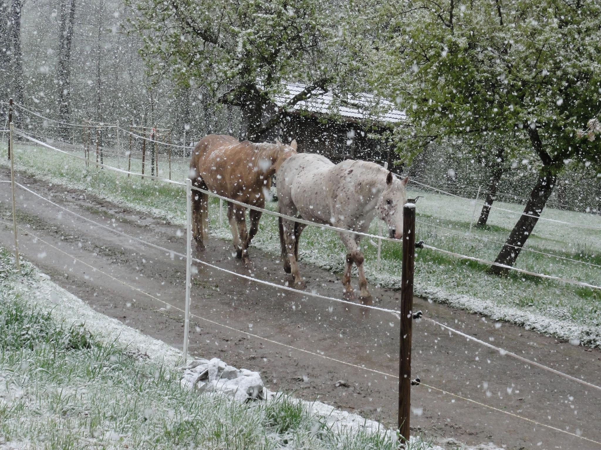 26. April 2017 am Morgen kommen unsere Pferde von der Weide zurück
