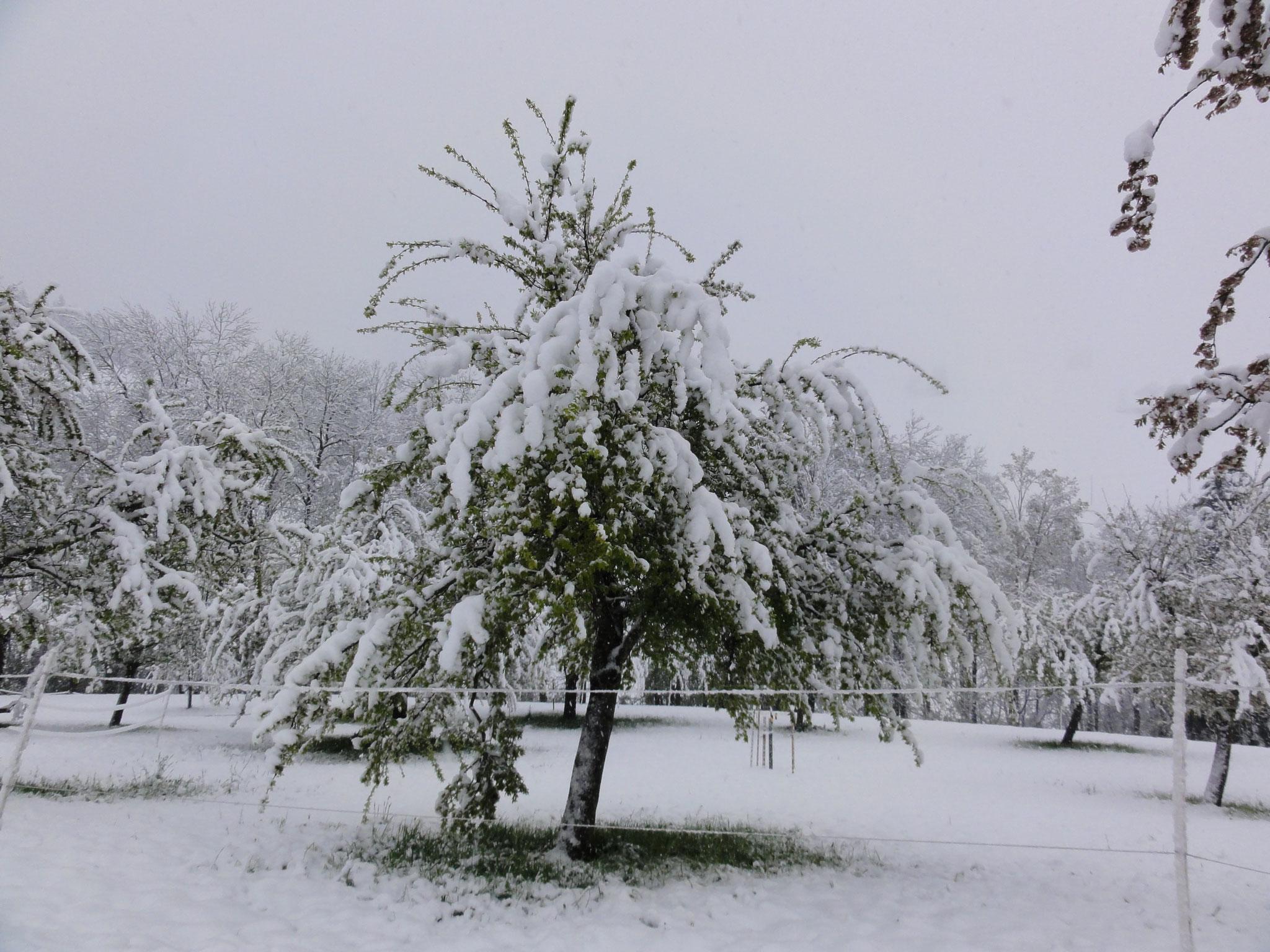 28. April 2017  alle Bäume sind in der Blüte oder haben schon Blätter und haben schwer mit der Schneelast zu kämpfen