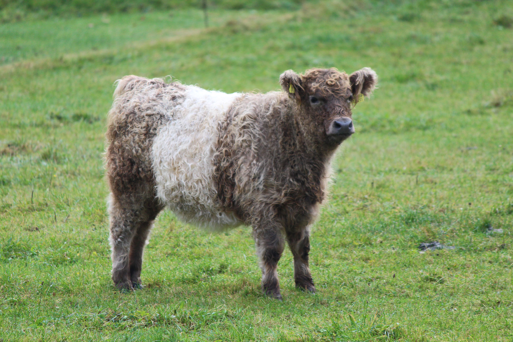 Belted Galloway Lenor Grey