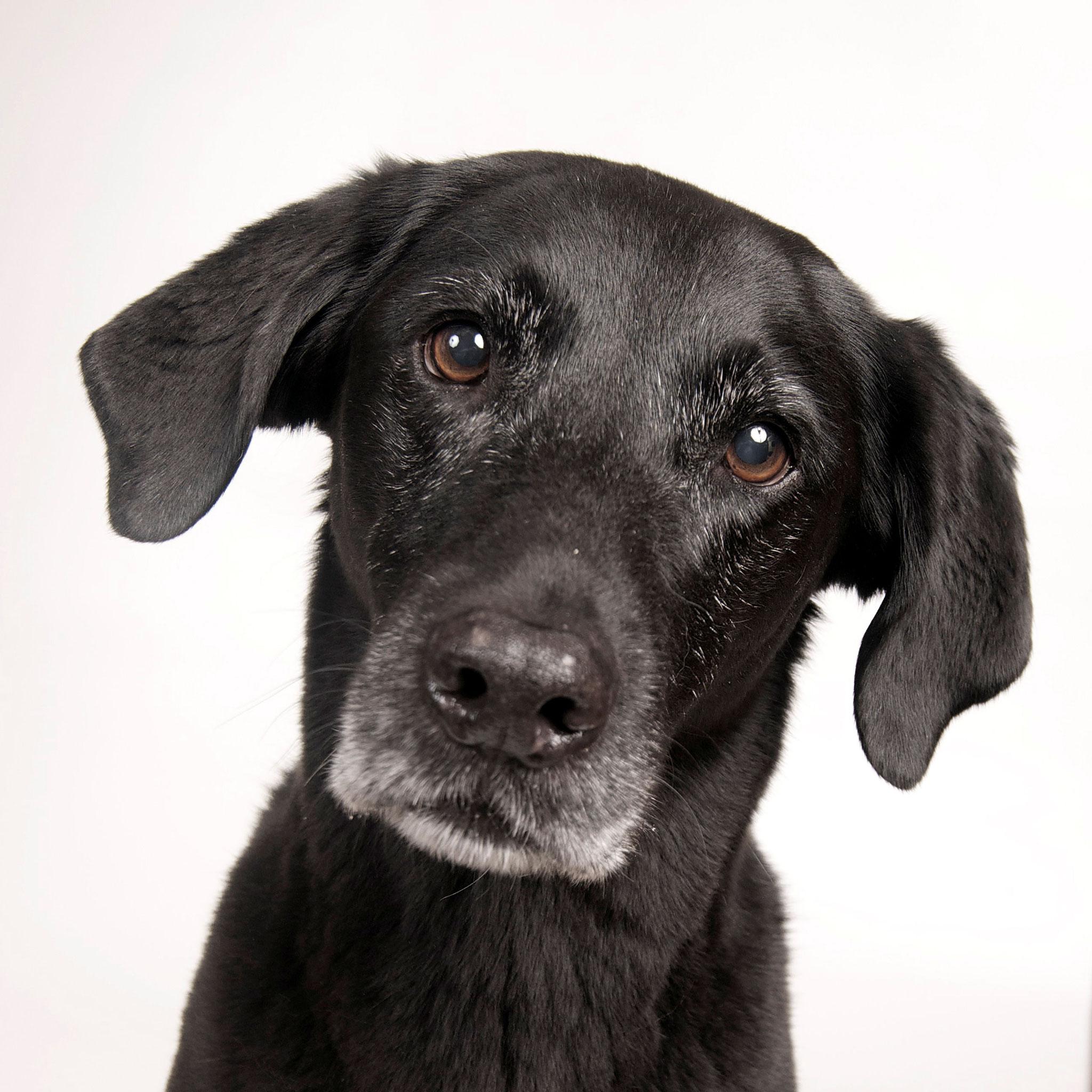 Ik ben Jessie een kruising Flat-coated Retriever  en een Labrador Retriever