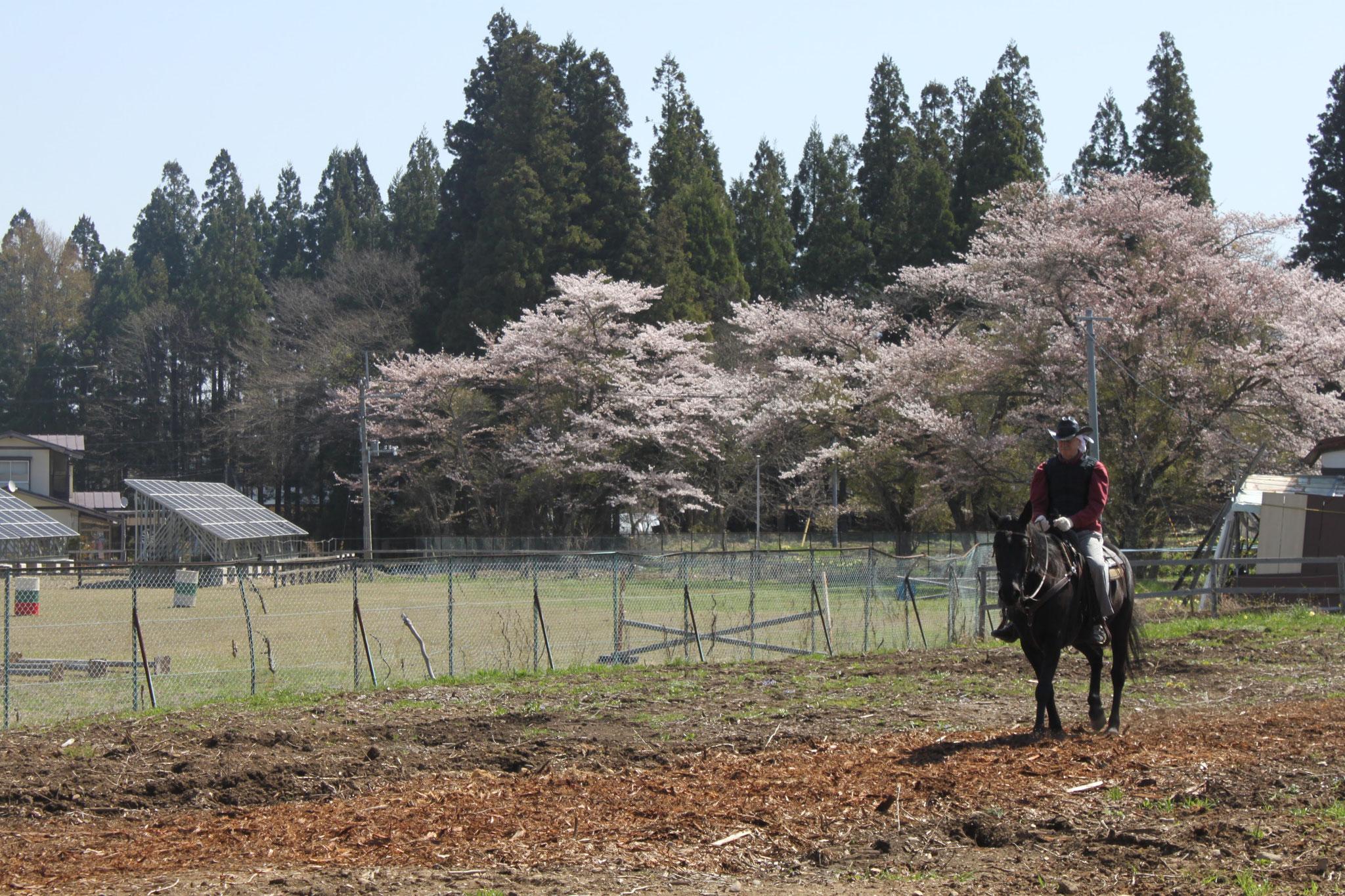 春:場内の桜をみながら乗馬