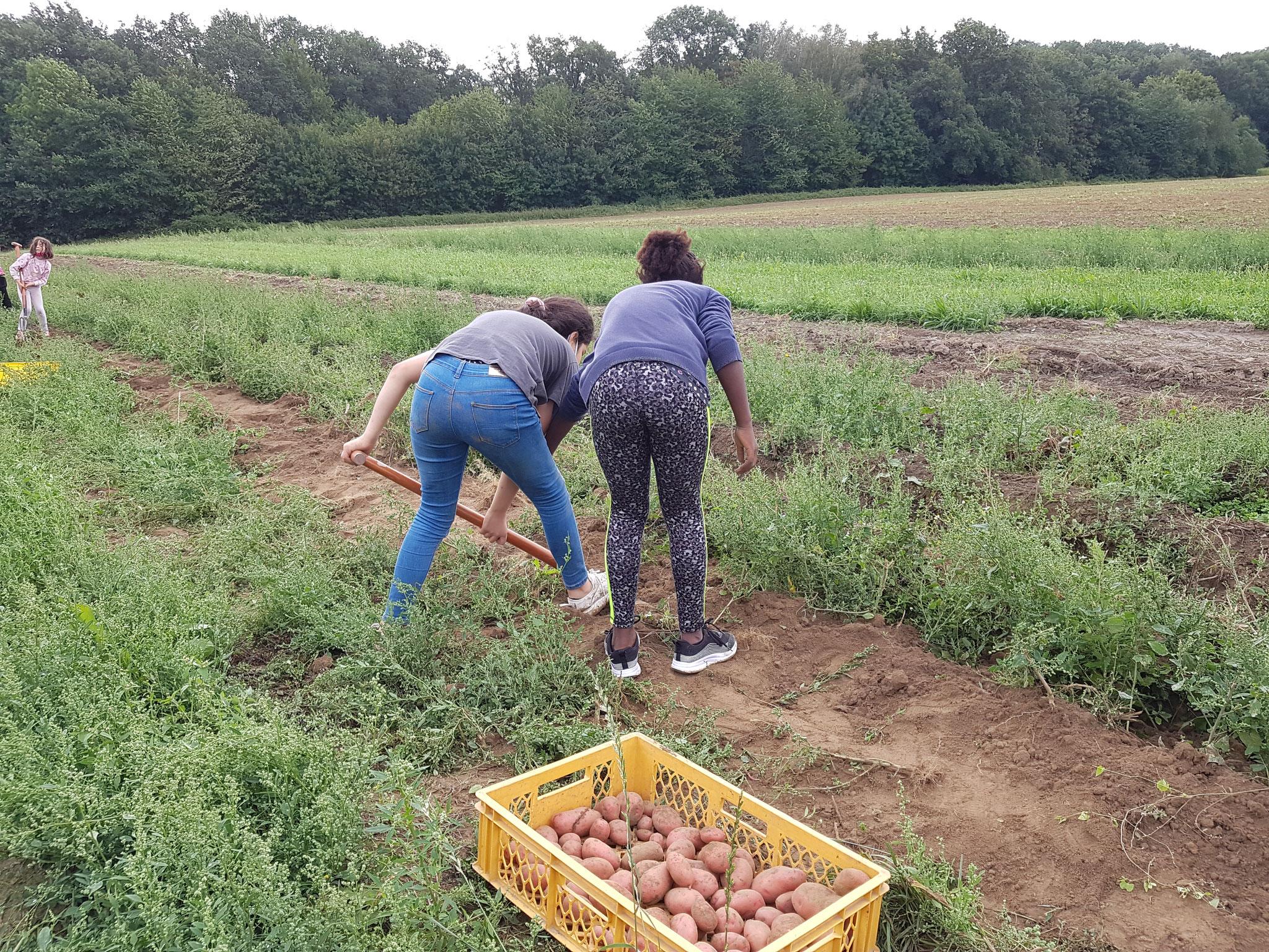 Kartoffelernte 3