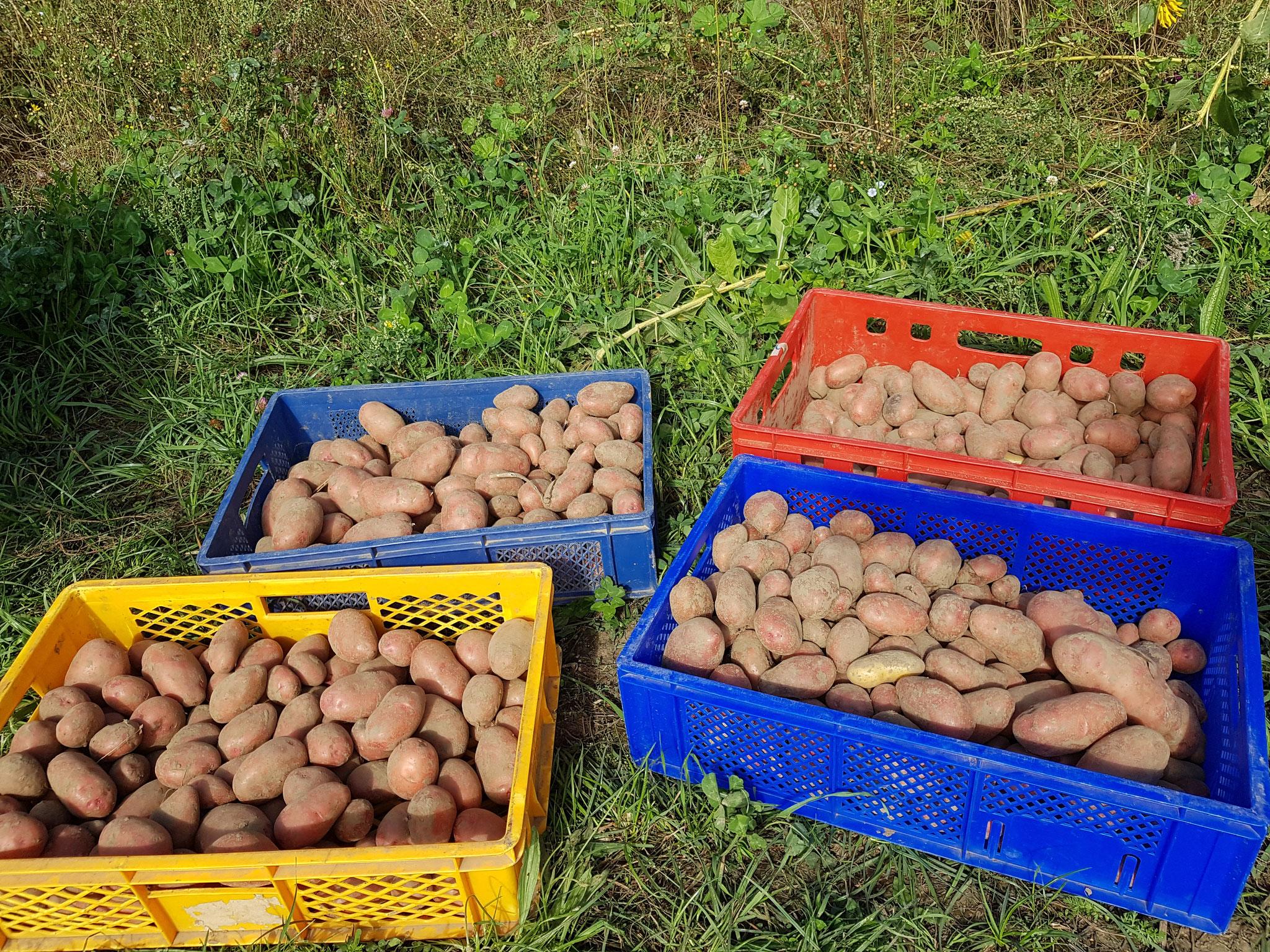 Kartoffelernte 7