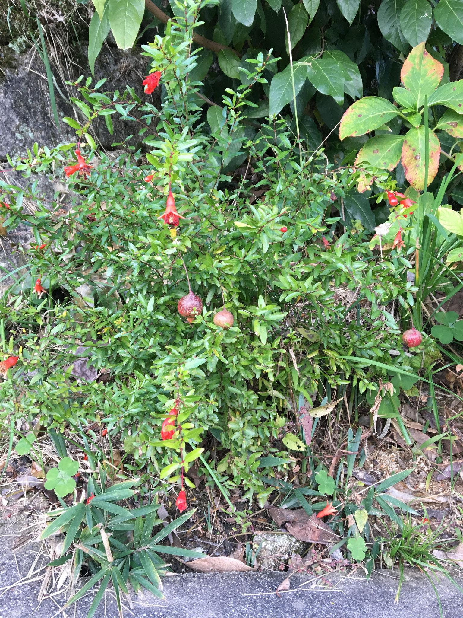 秋:盆栽柘榴。食べれるかどうかは未確認。