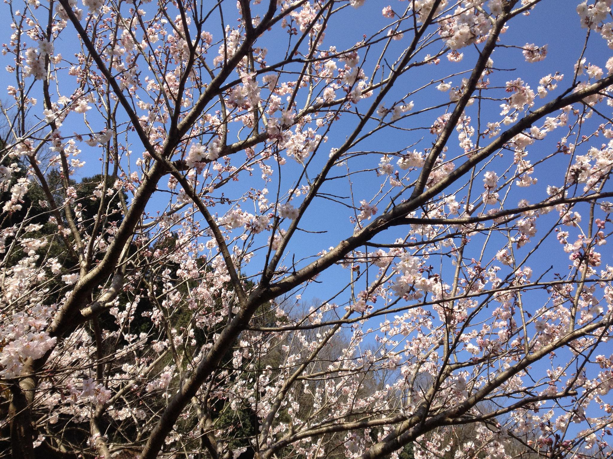 春:毎年かわらぬ美しさ。