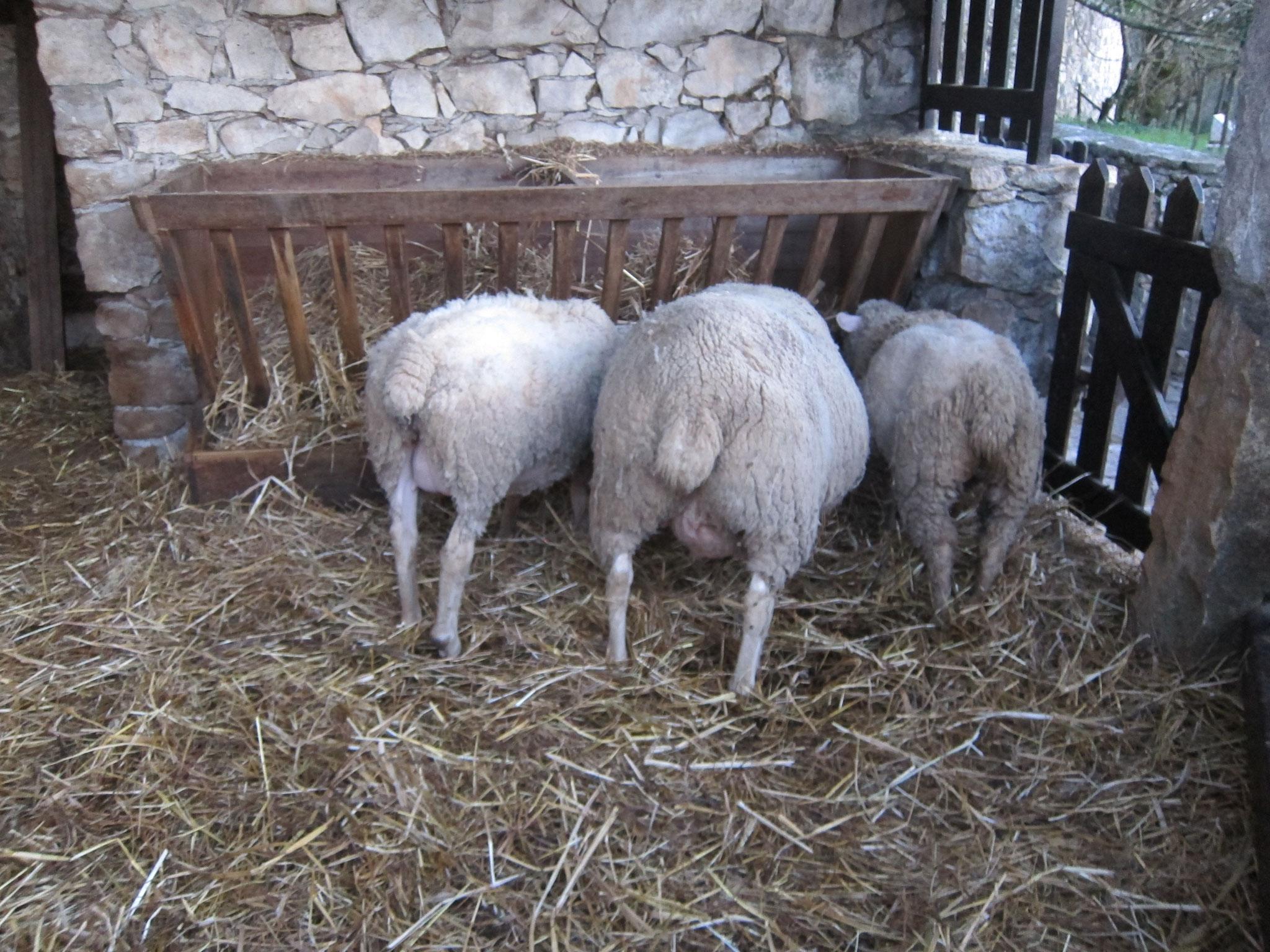 部屋の隣には羊小屋