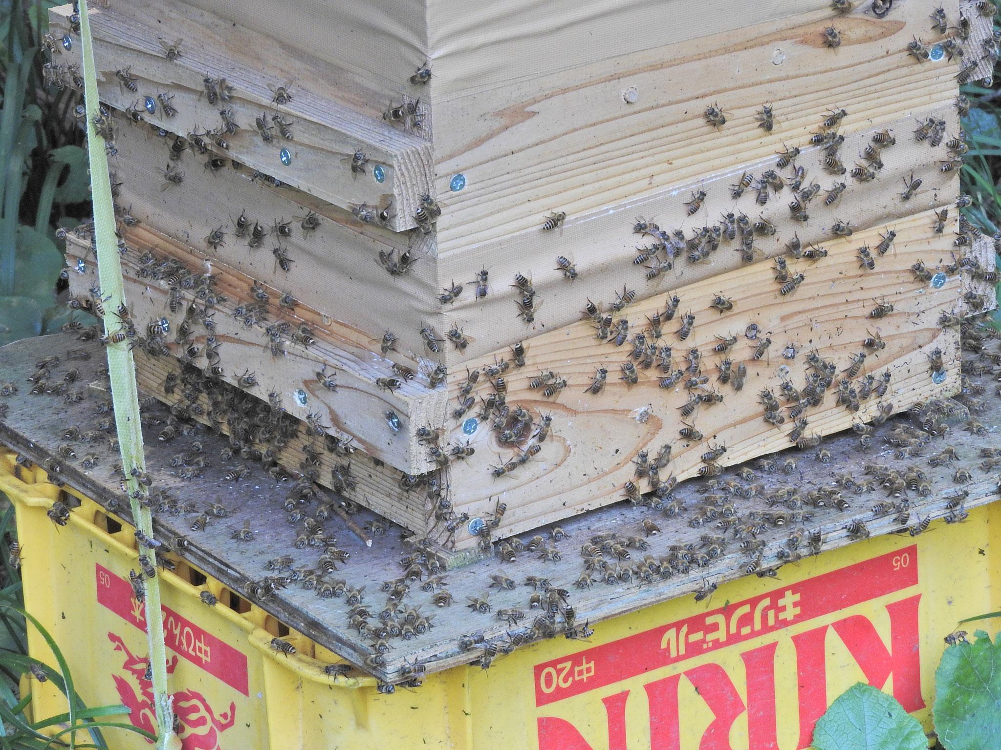 巣箱に群がるニホンミツバチ