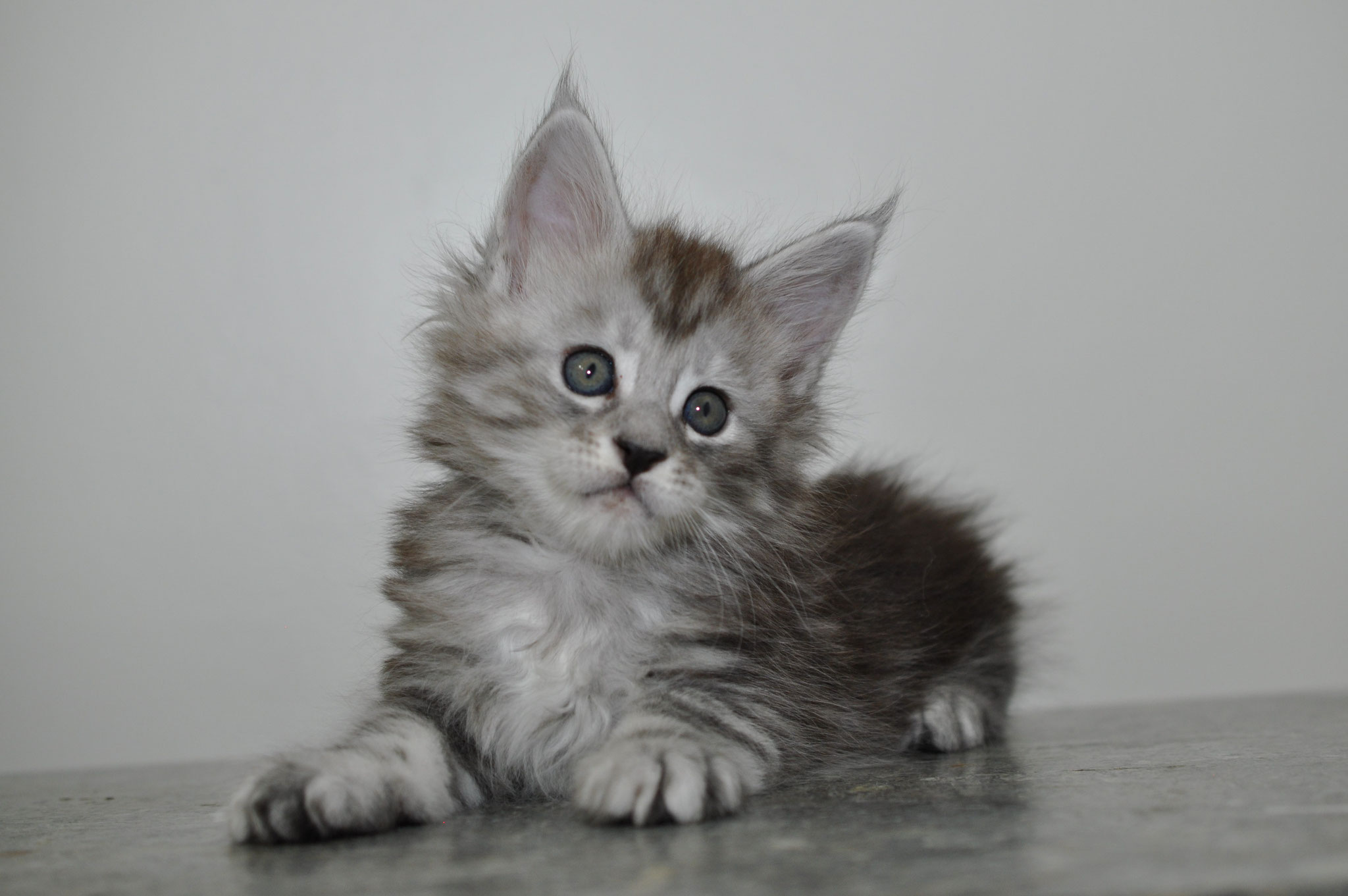 High silver Maine Coon Kitten - Available