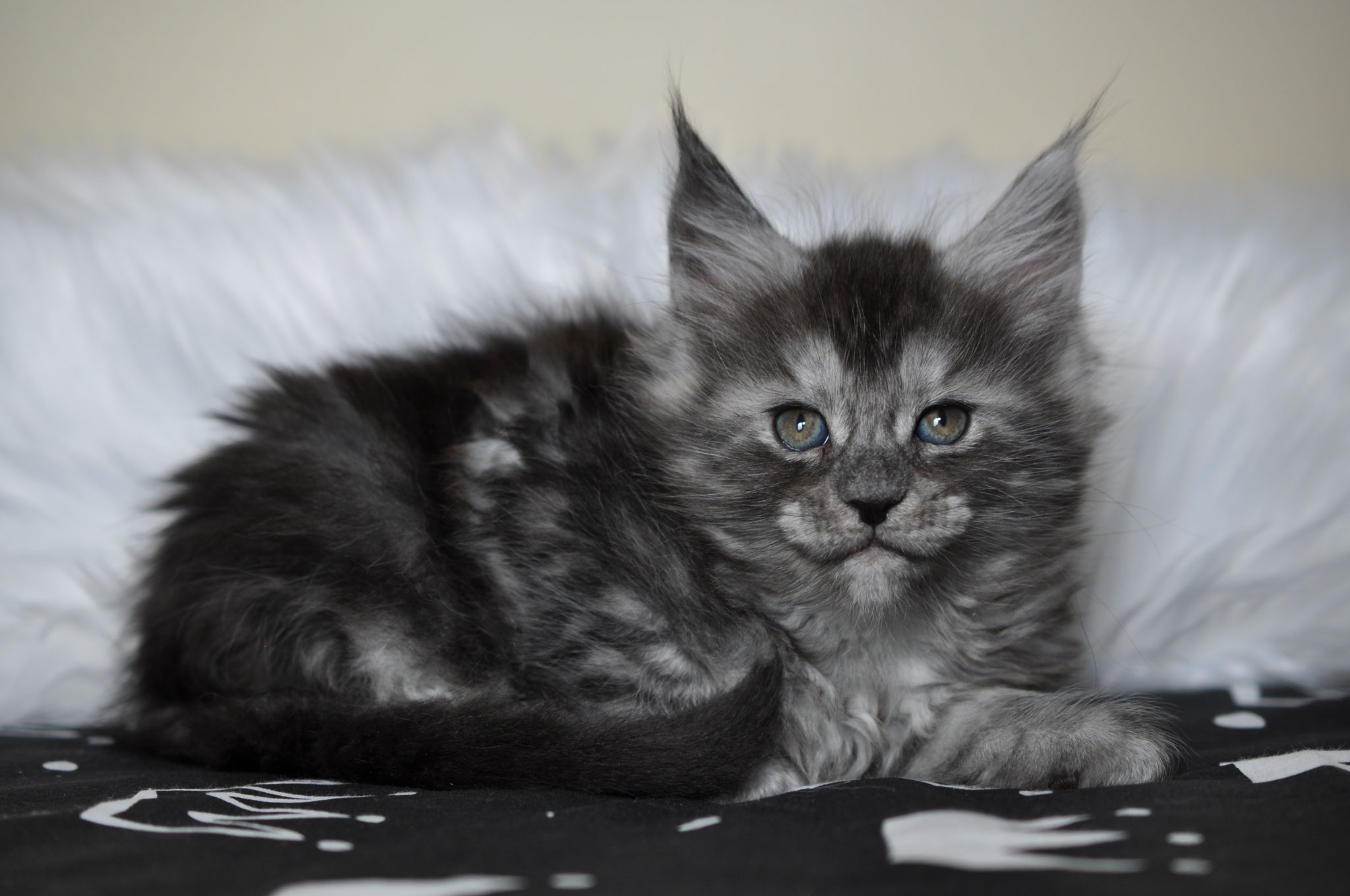 Progressive Near Me >> Available Maine Coon Kittens for Sale - European Maine ...