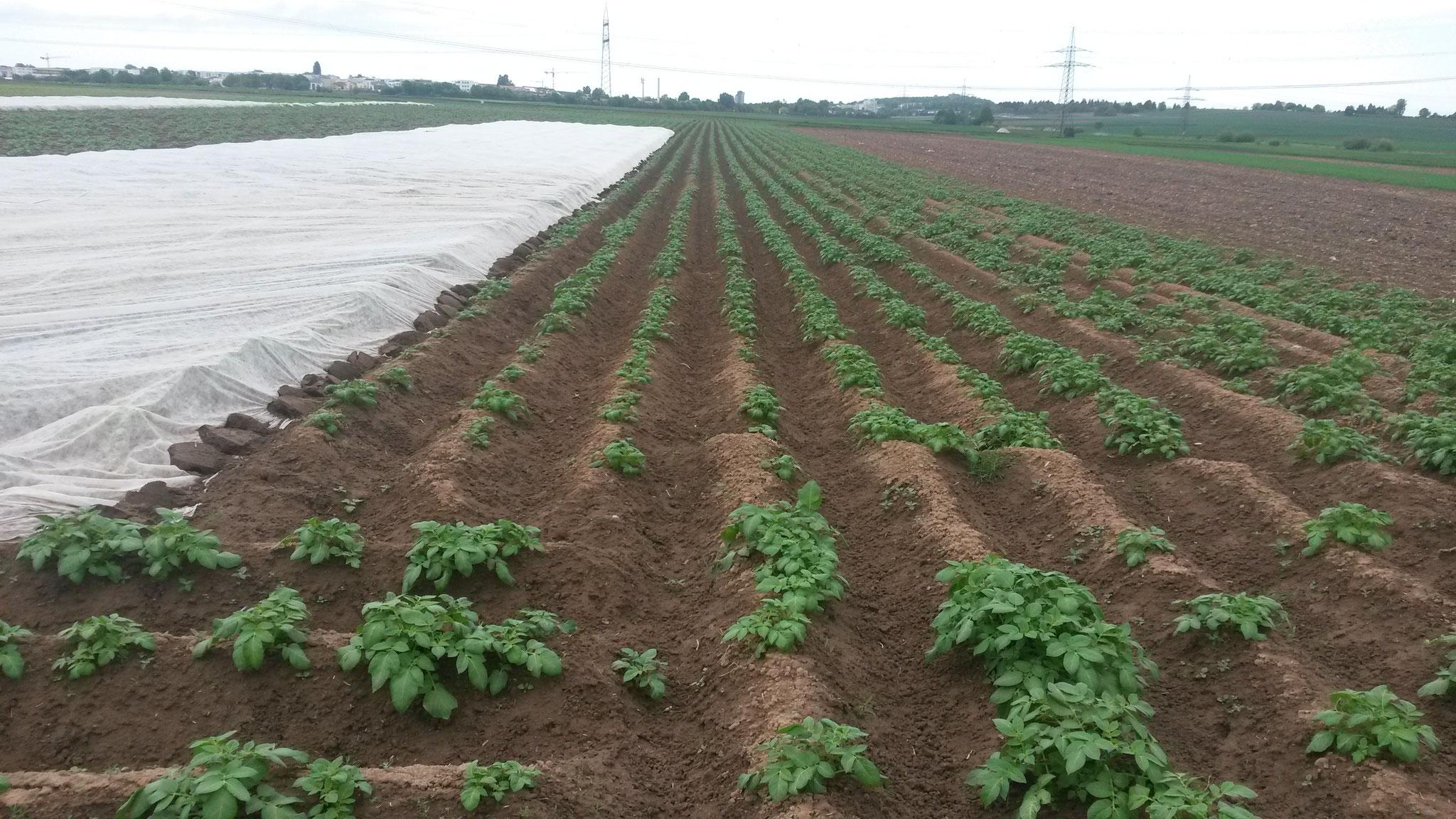 Ab- und Aufdecken des Kartoffelvlies, um wärmere Temperaturen im Damm zu erreichen