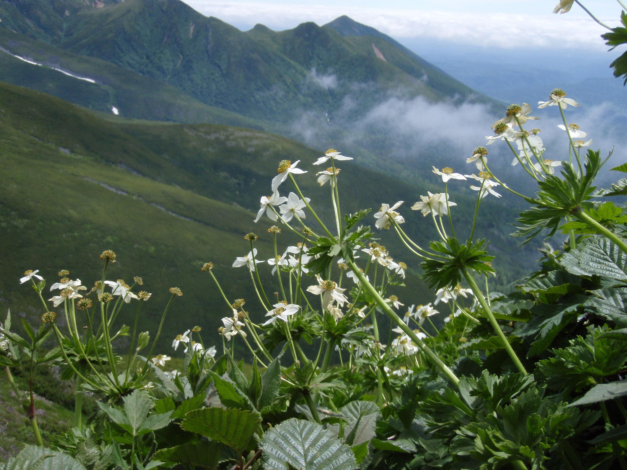 富良野岳とハクサンイチゲ 7月