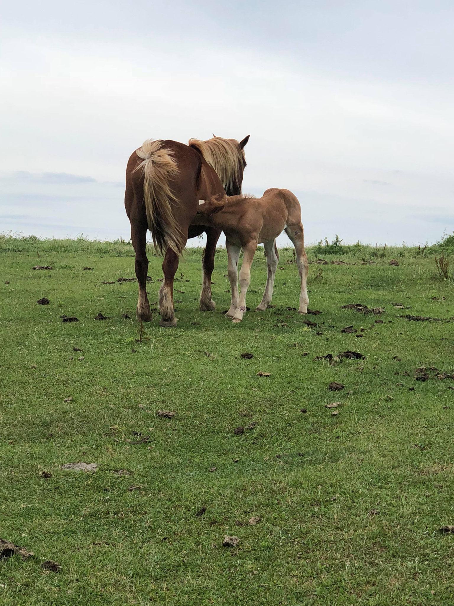 6月28日 海士町の馬の写真