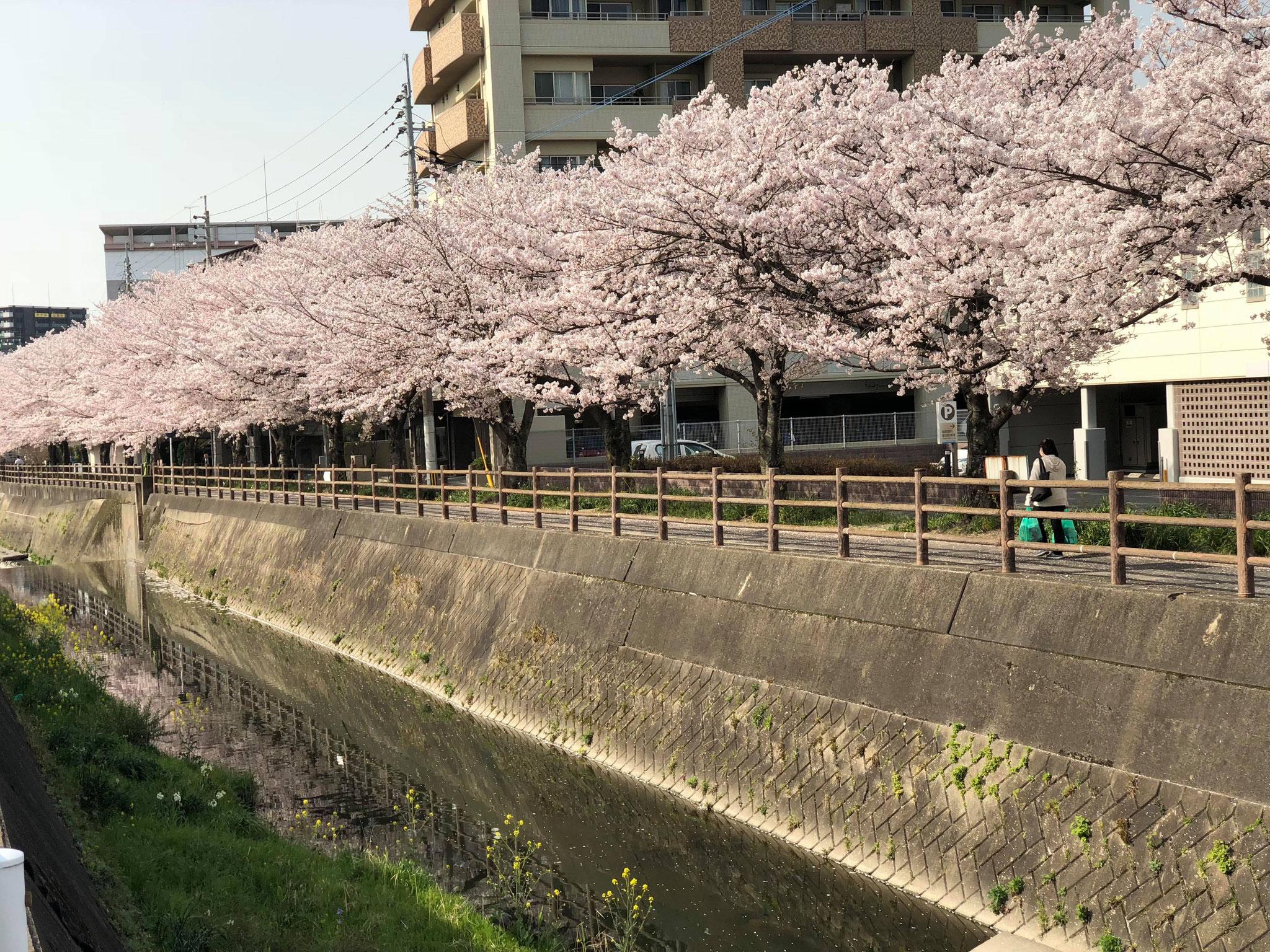 今年も三ヶ森の桜が美しかったです。
