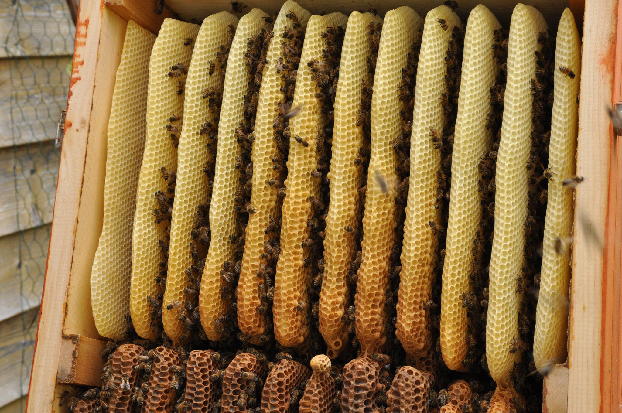 Honigraum mit relativ viel Brut