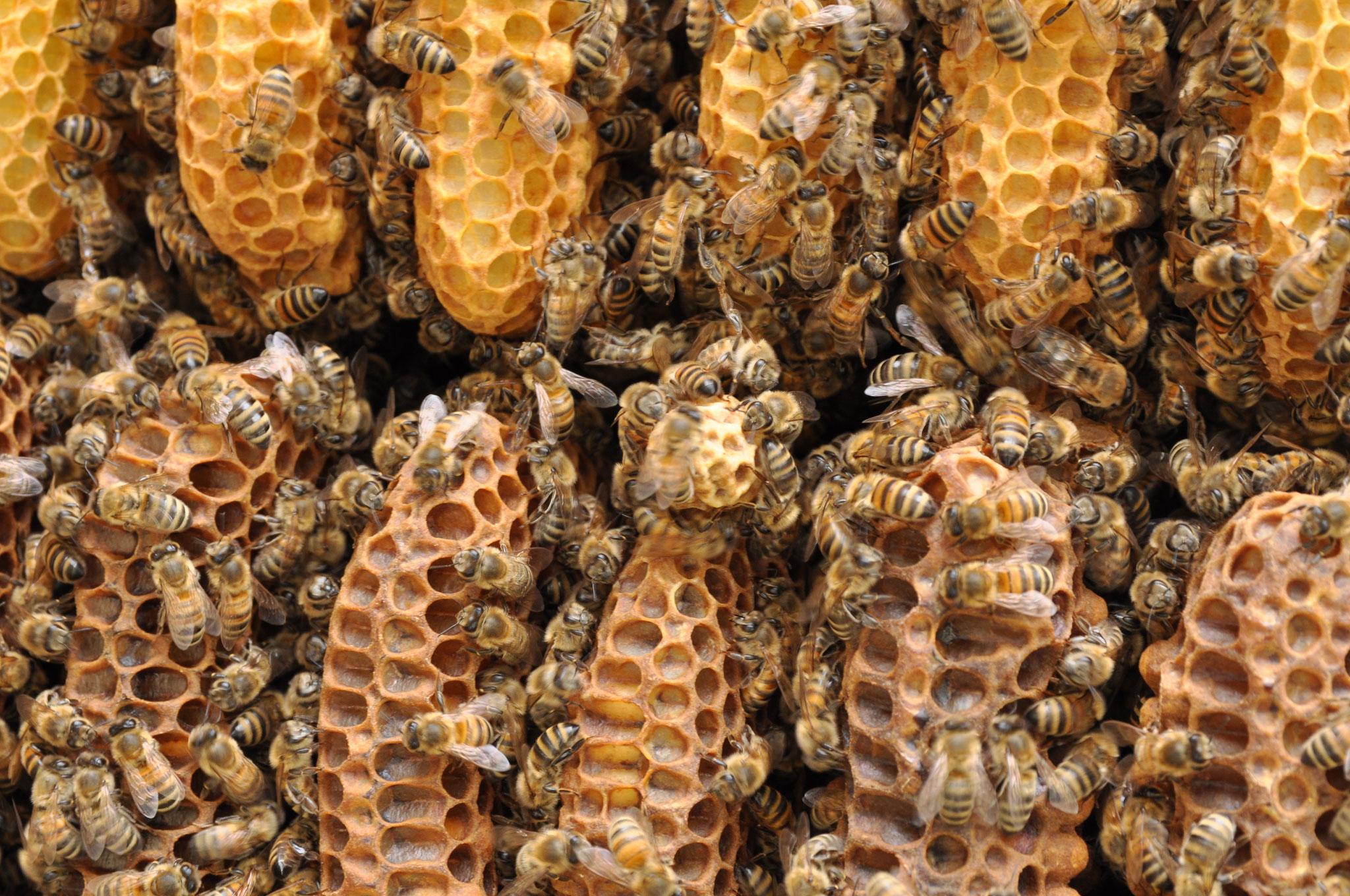 Weiselzelle 2 Brut/Honigraum Mitte
