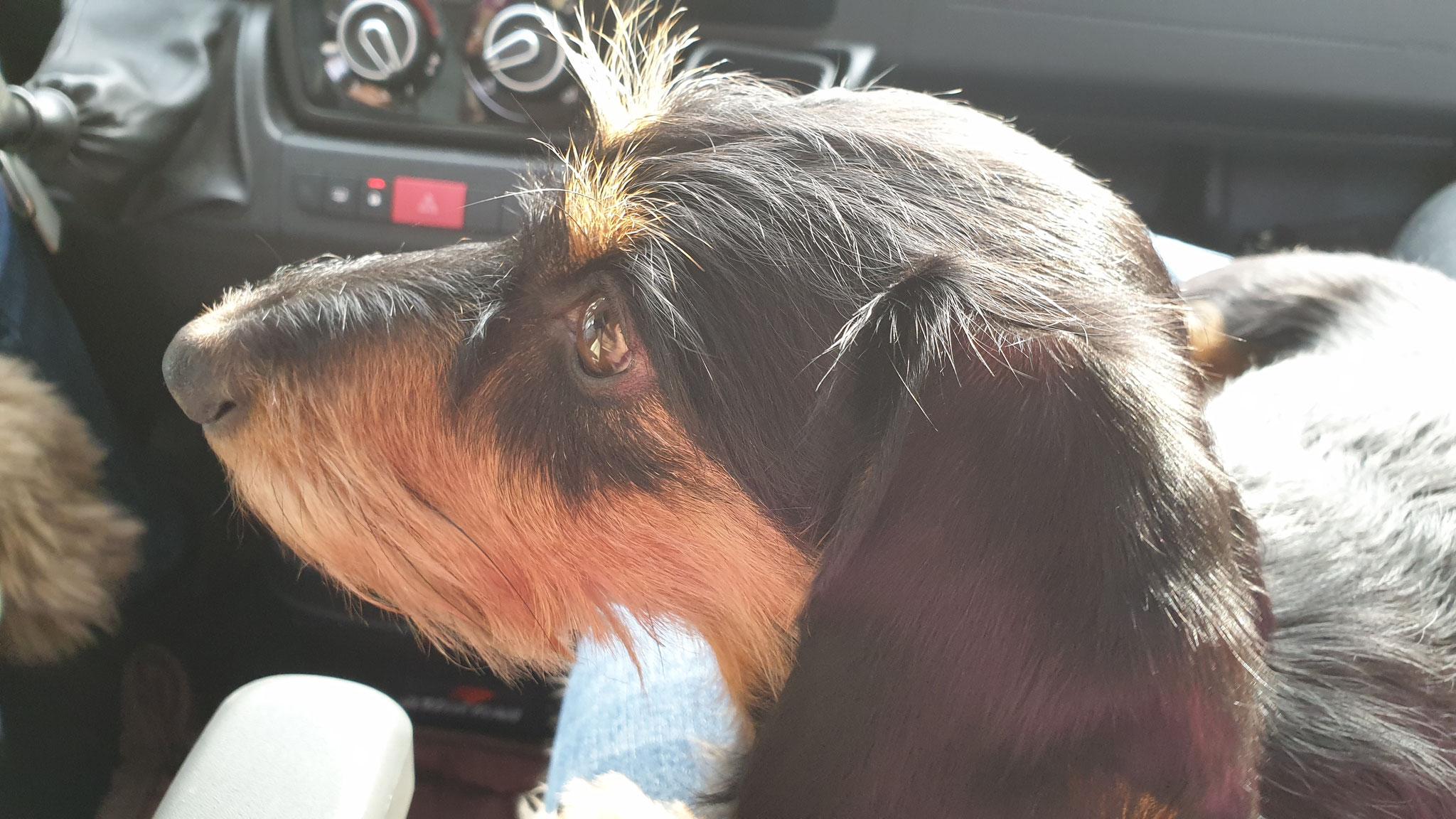 Olly geniesst die Fahrt auf dem Beifahrersitz