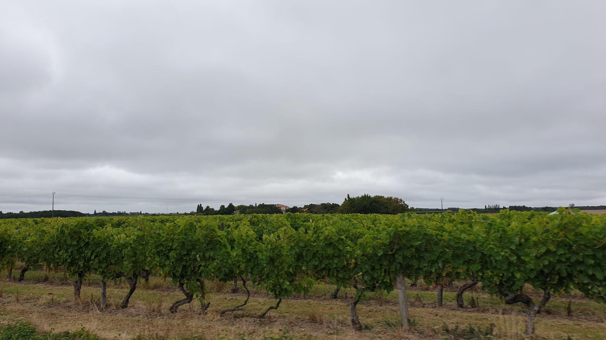 Die ersten Bordeaux-Reben