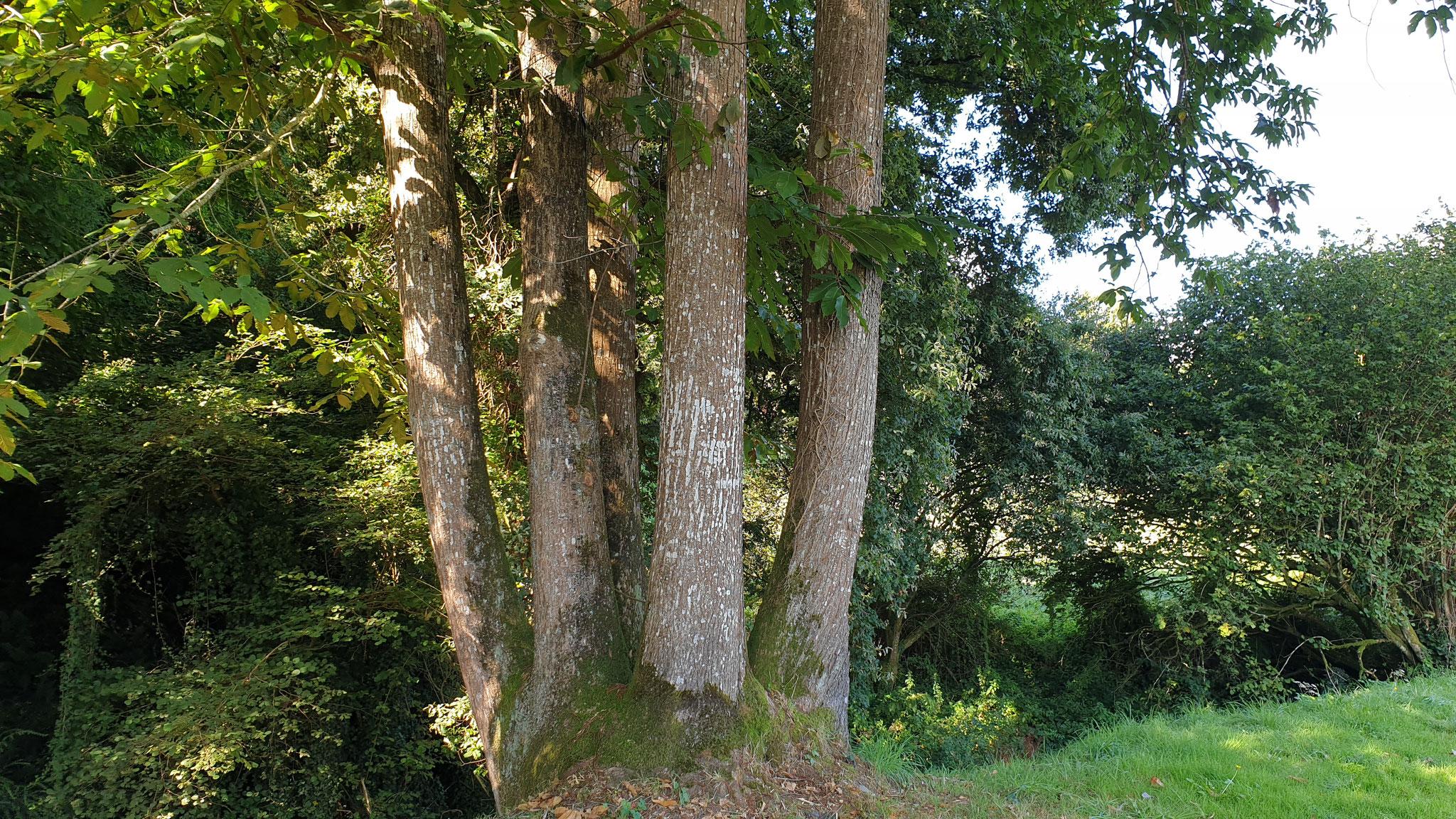 Ein fünfstämmiger Kastanienbaum