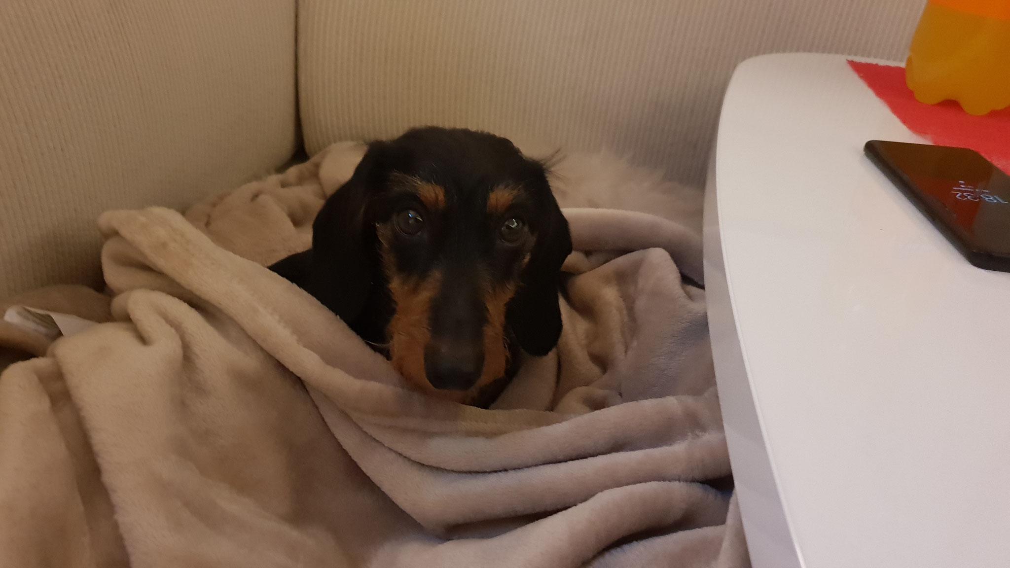 Olly in die Decke eingekuschelt...