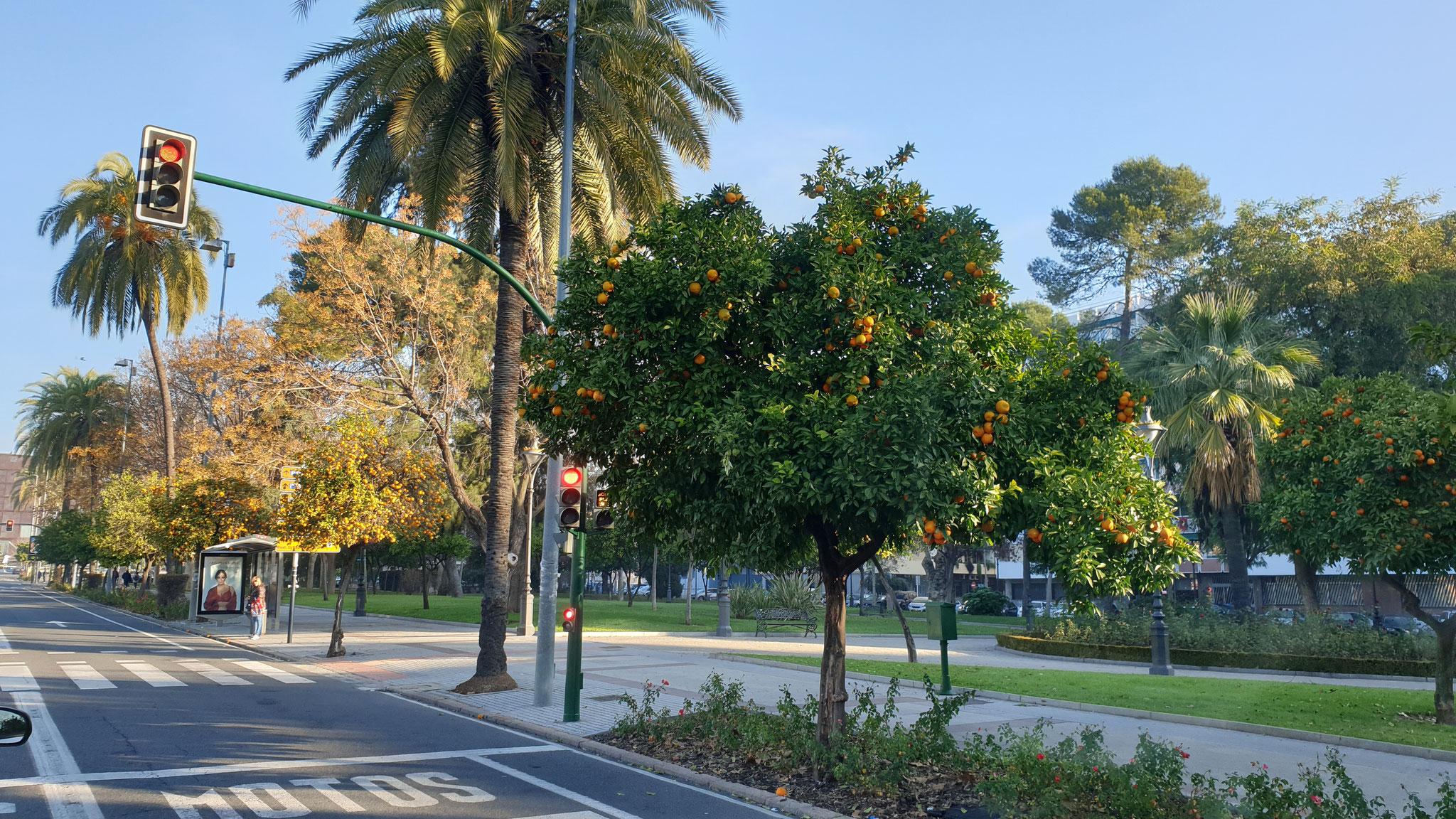 ...und Orangenbäume, wohin man schaut