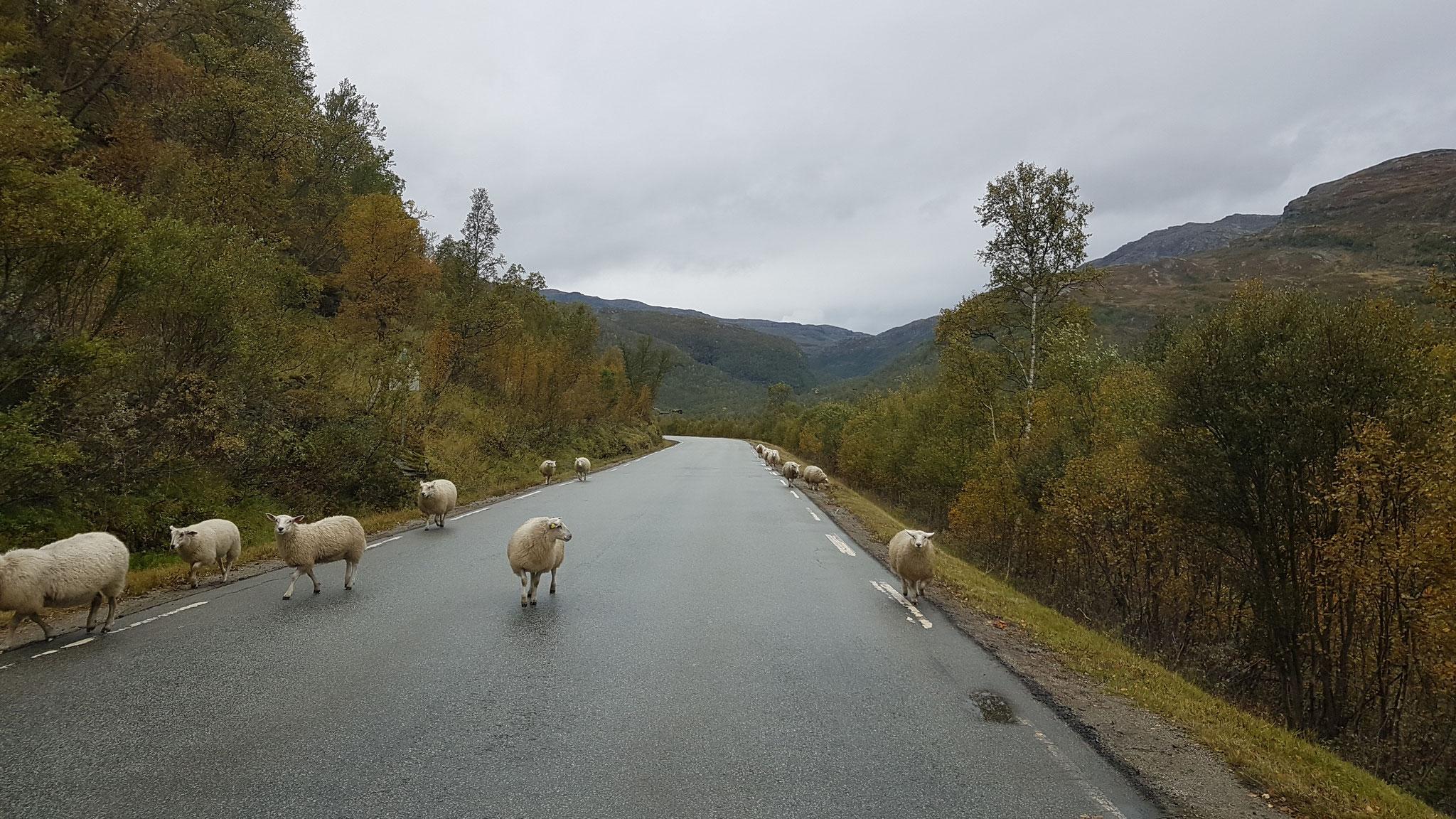 Hmmm Schafe - Elche wären uns lieber