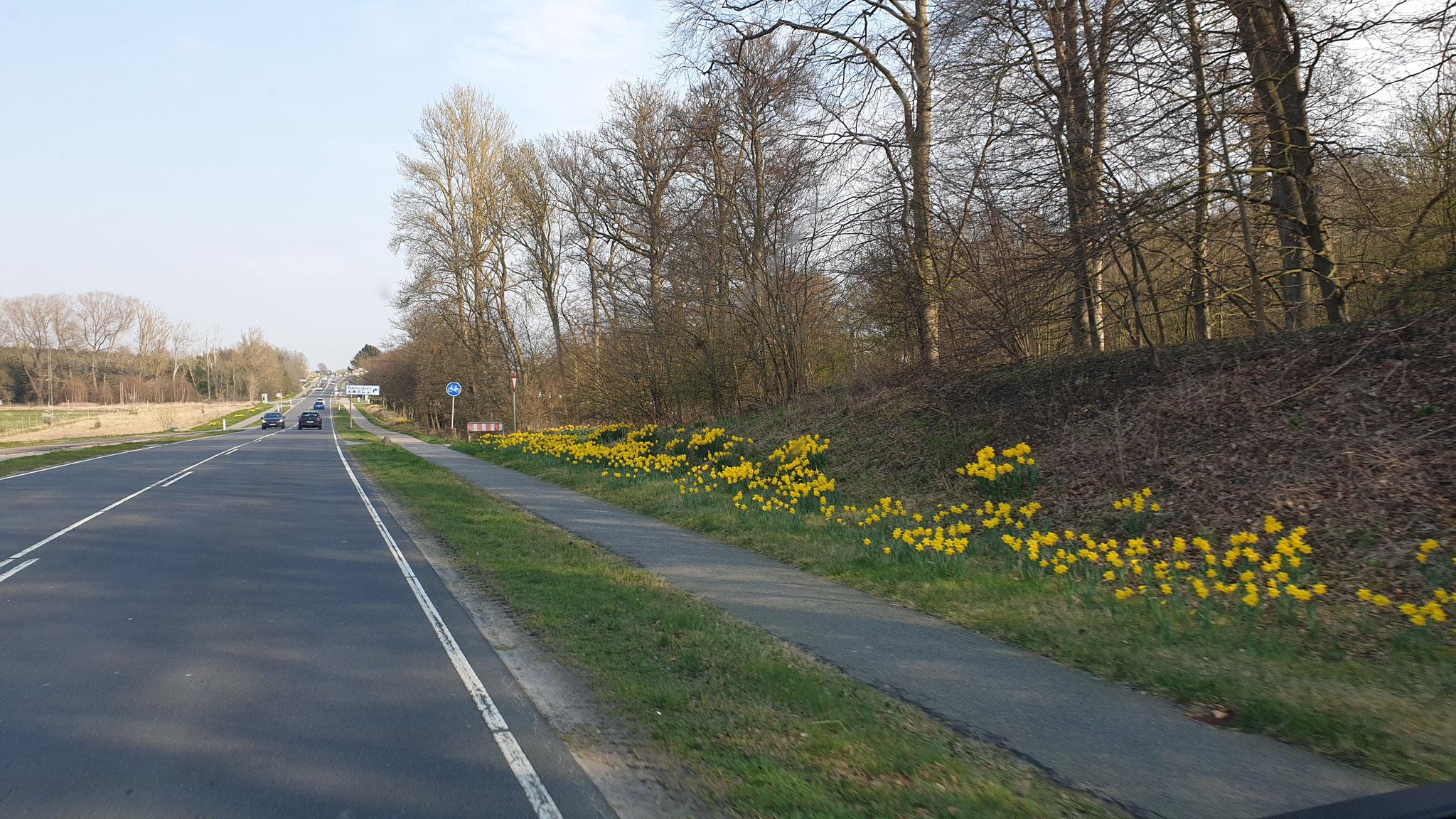 Die Osterglocken blühen