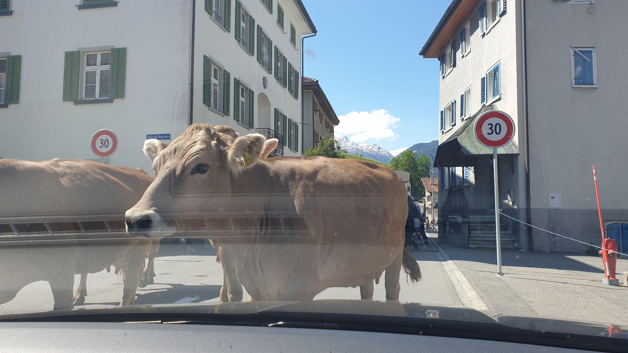 Kurzer Kuh-Stopp in Pignia