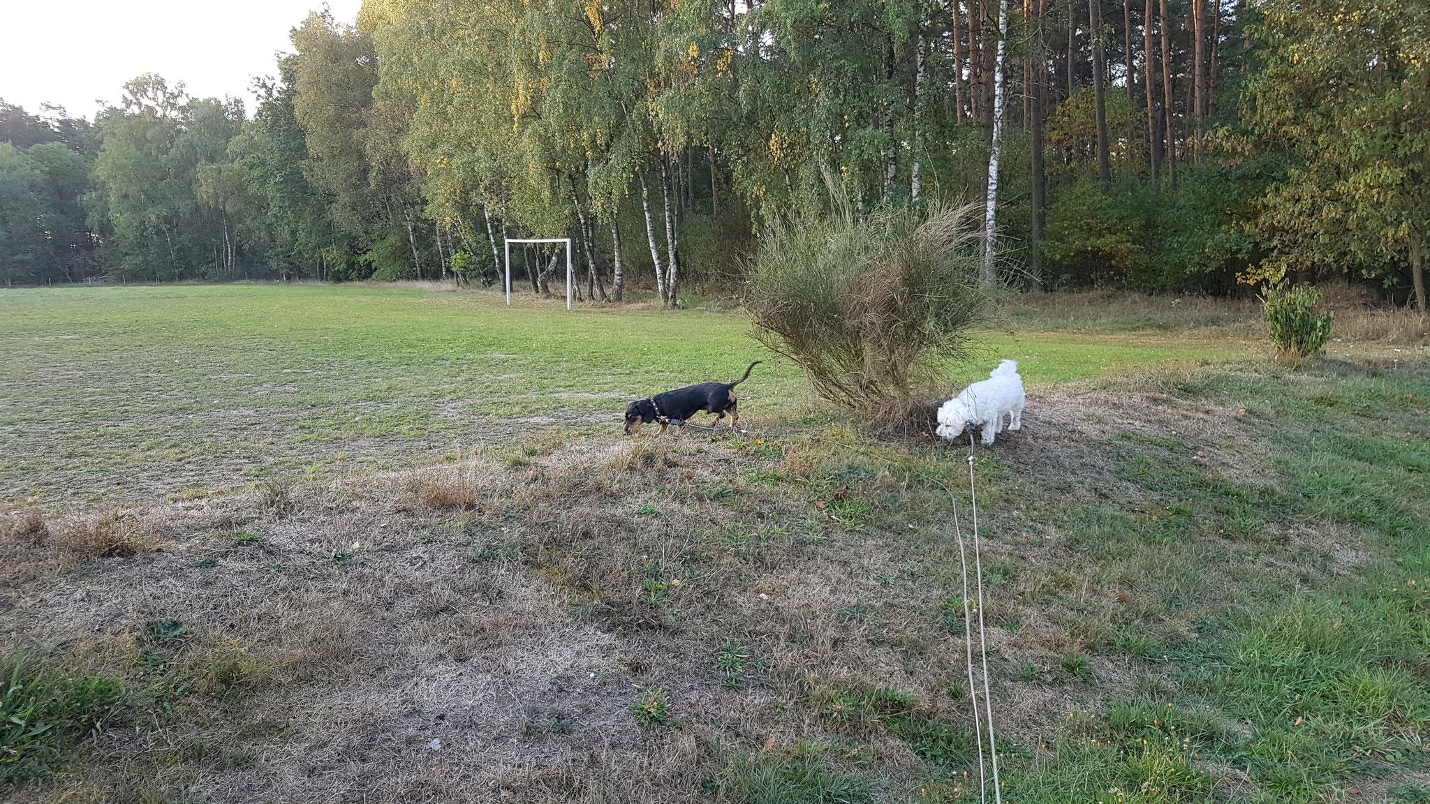 Zwei Trüffelschweinchen unterwegs