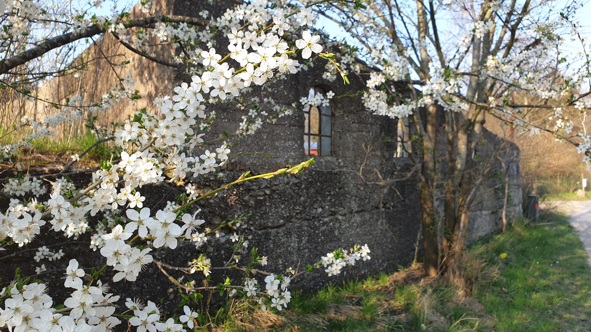 Spaziergang - Blütenpracht vor altem Gemäuer