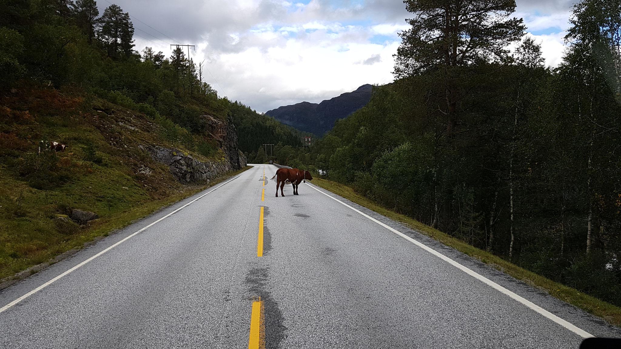 Noch mehr Kühe statt Elche :(