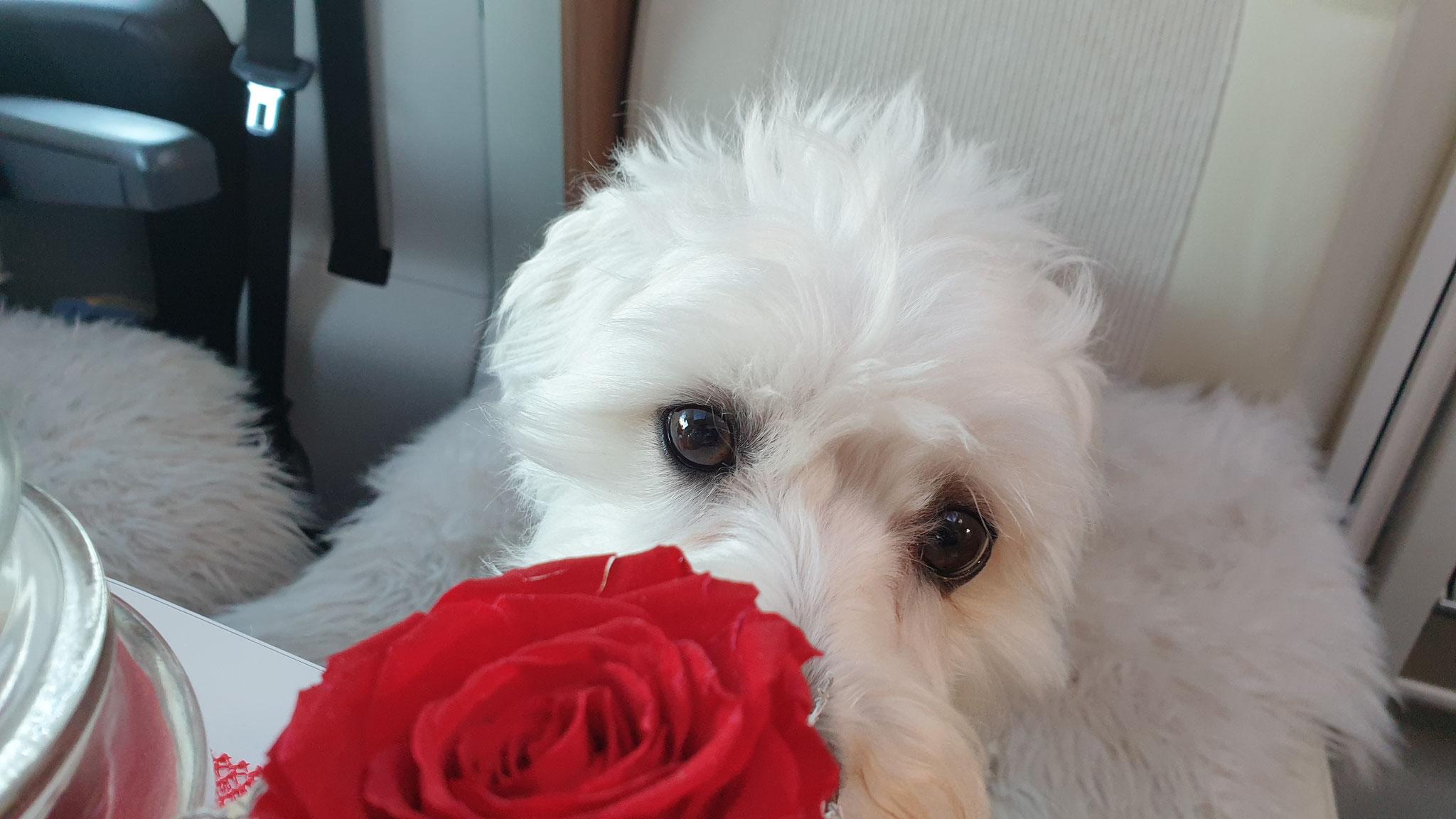 Noch ein kleiner Rosenkavalier
