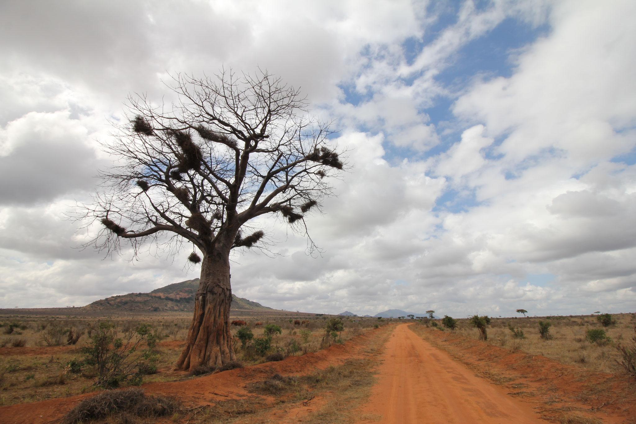 ein Baobab in Tsavo Ost