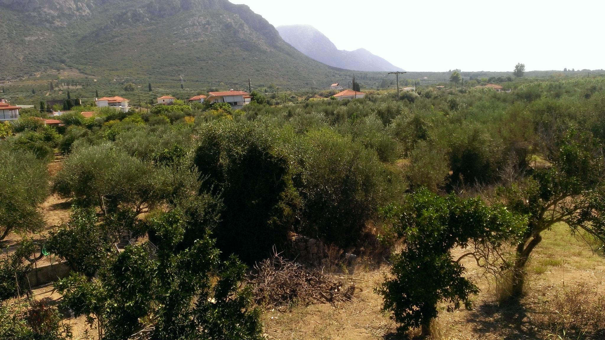 Unsere Olivenplantagen