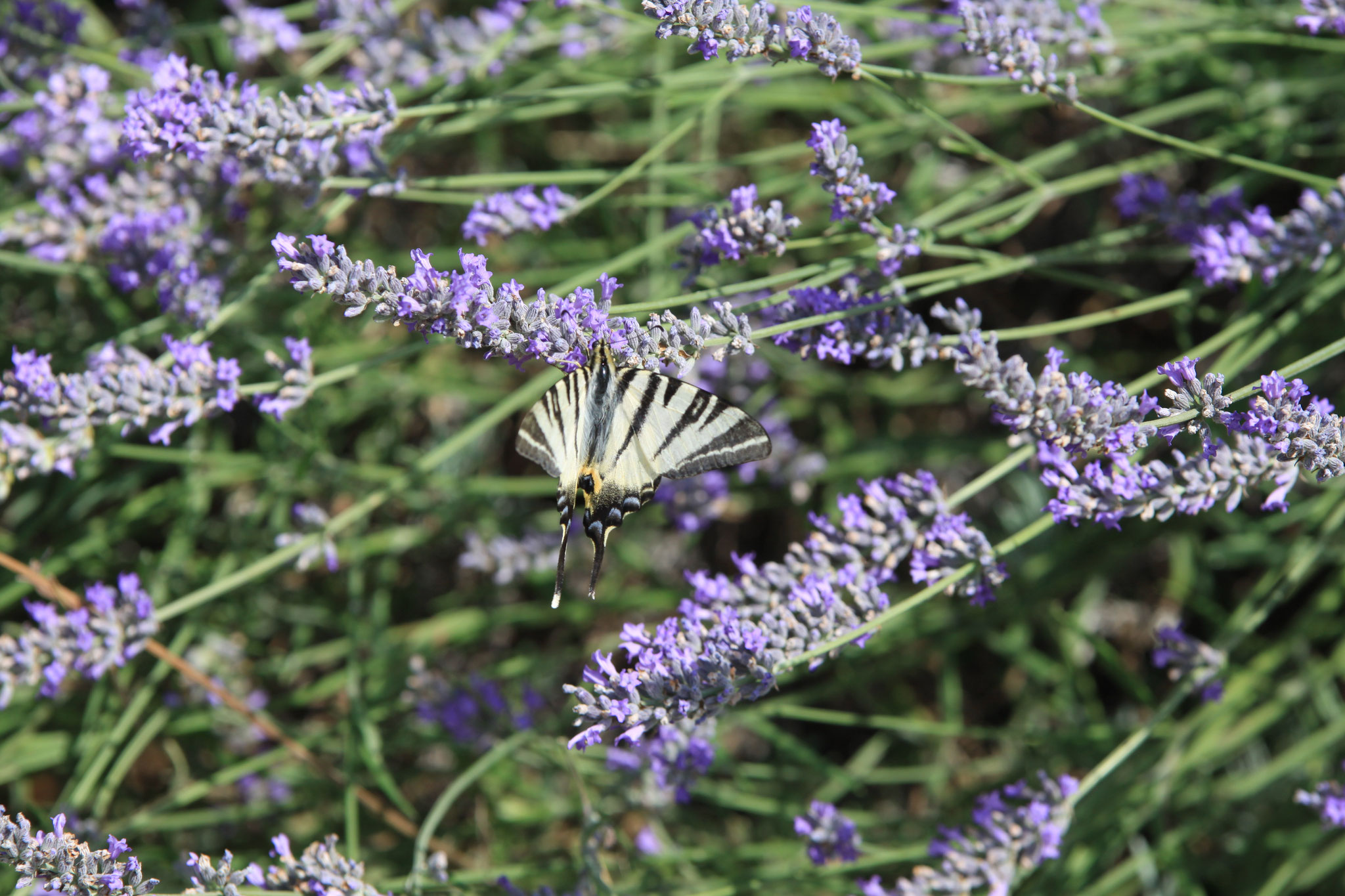 butterflies in lavender