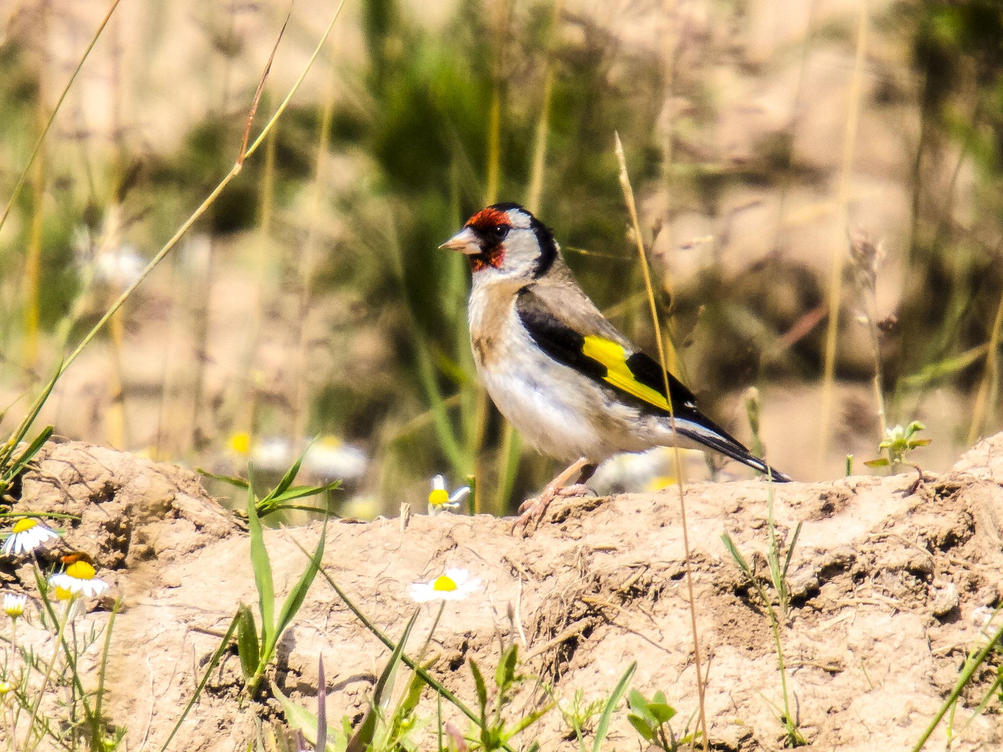 Es gibt auch viele Singvögel, darunter z.B. Stieglitze.