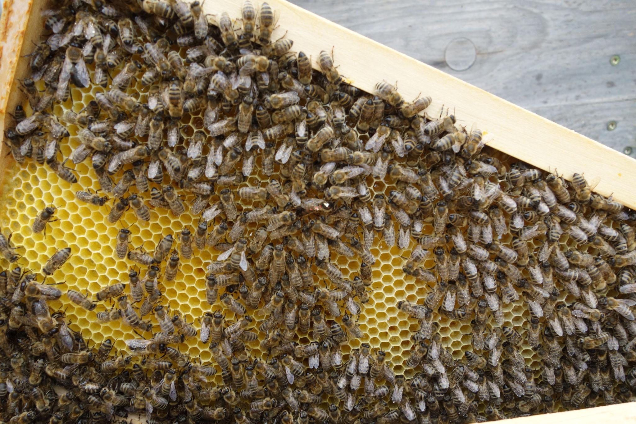 Königin auf Wabe gefunden. Die Flügel aller Bienen sind leicht nass von der Sprühbehandlung, so soll es sein.