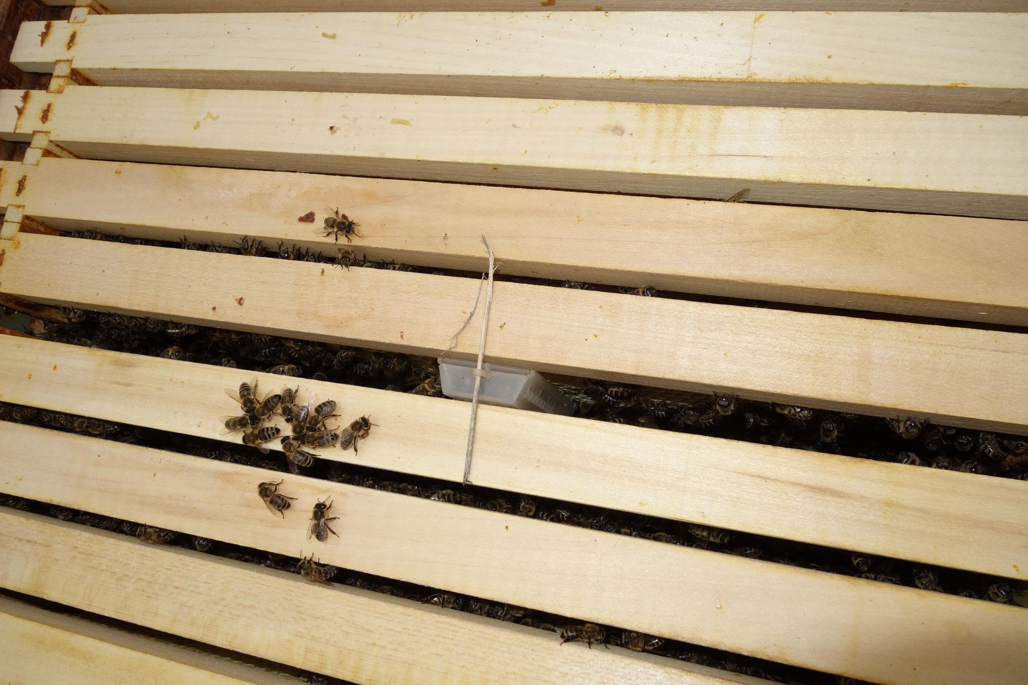 Bild 9: Der Königinnenkäfig wurde zwischen die neuen Mittelwände im Flugling eingesetzt. Die Arbeiterinnen dürfen sie jetzt in aller Ruhe befreien.