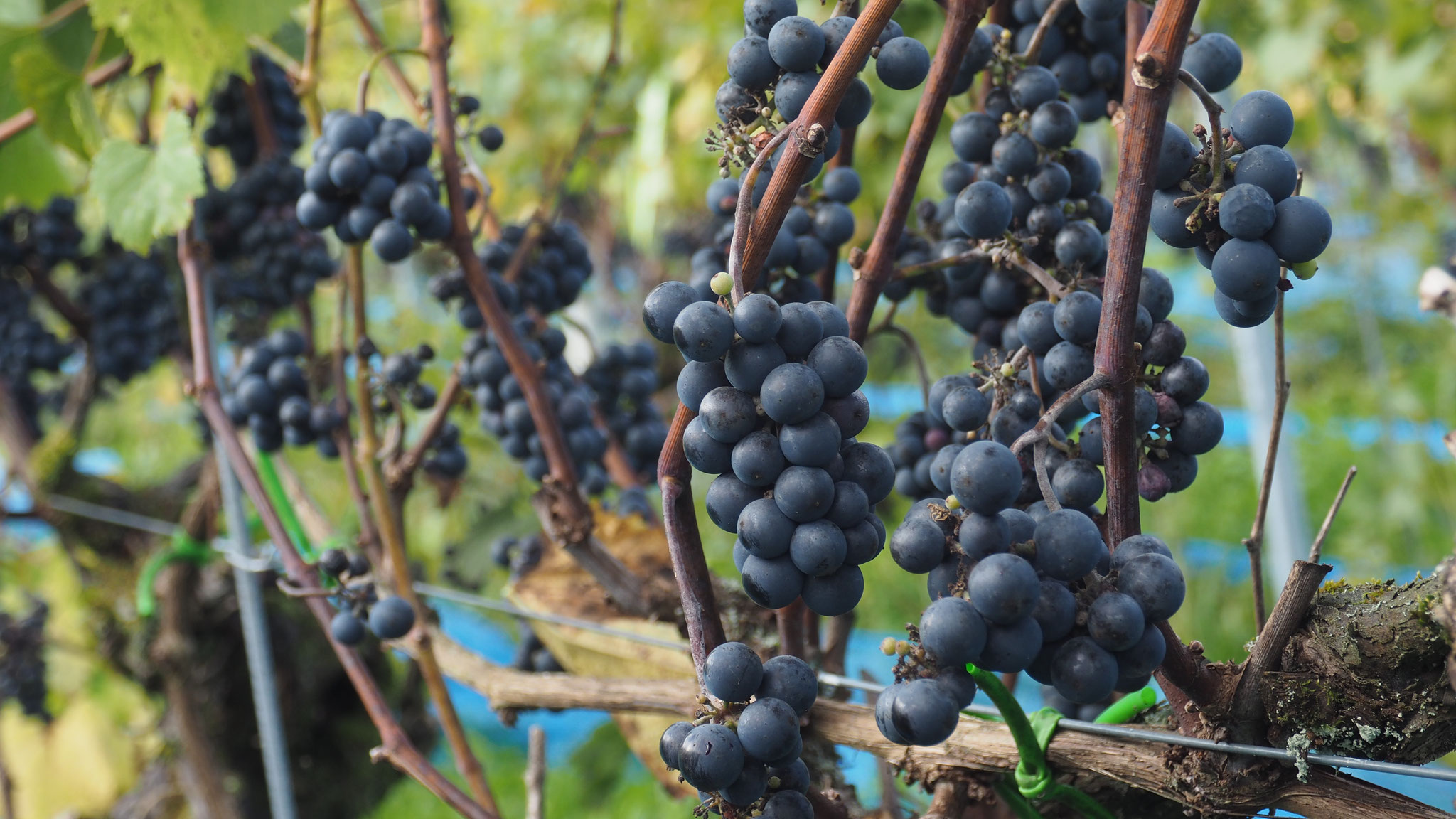 20 Zur Räbluus: Käsespätzli mit Apfelmus, Dälliker Wein und Grappa