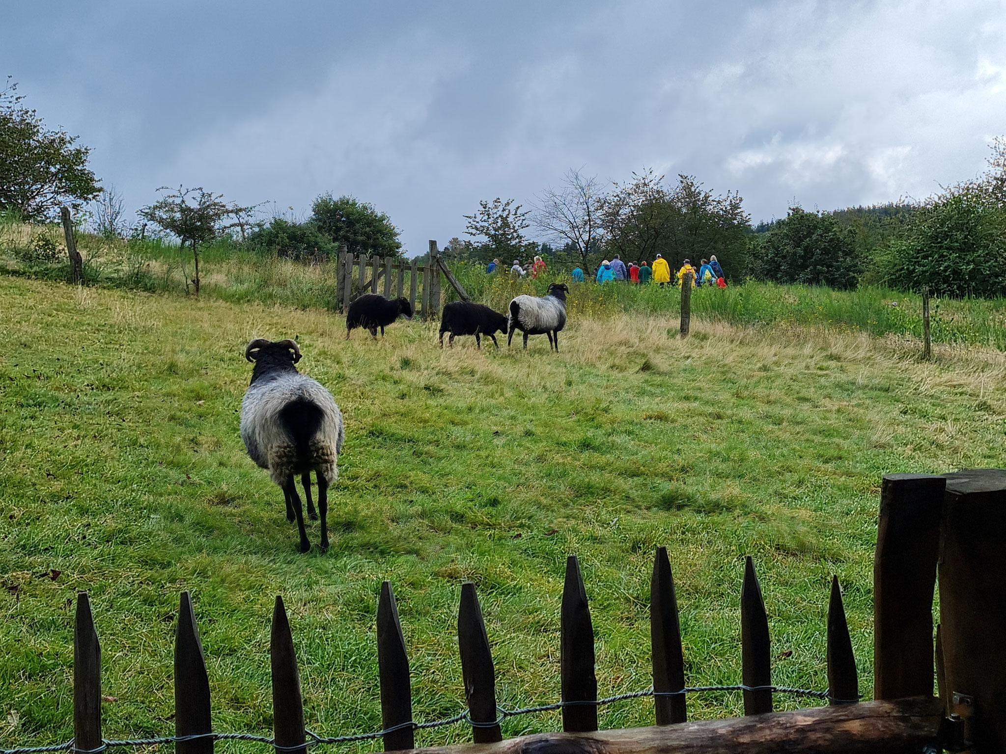 Unsere Schafe wollte am liebsten mit auf die Exkursion