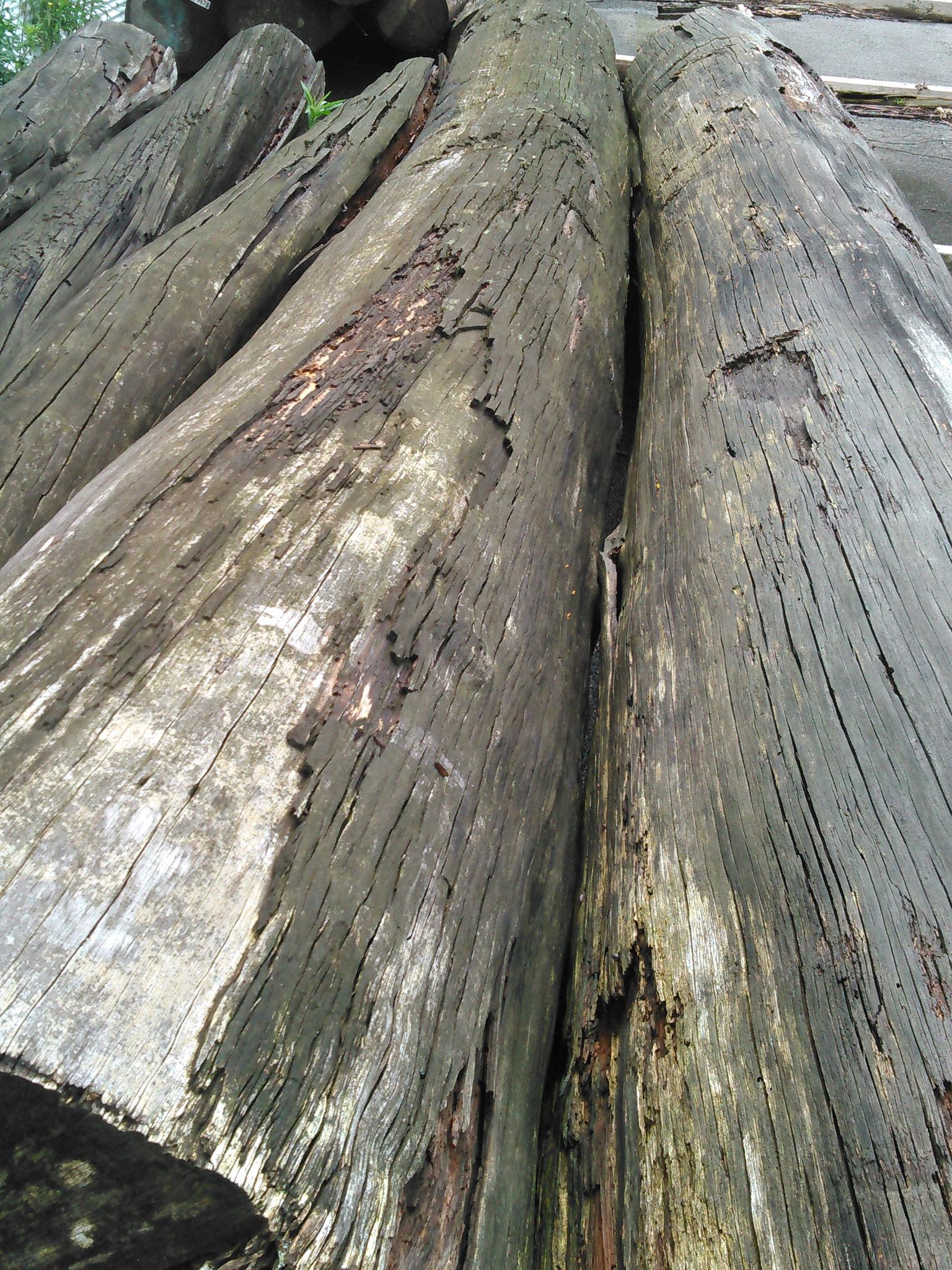 ベイヒバ原木