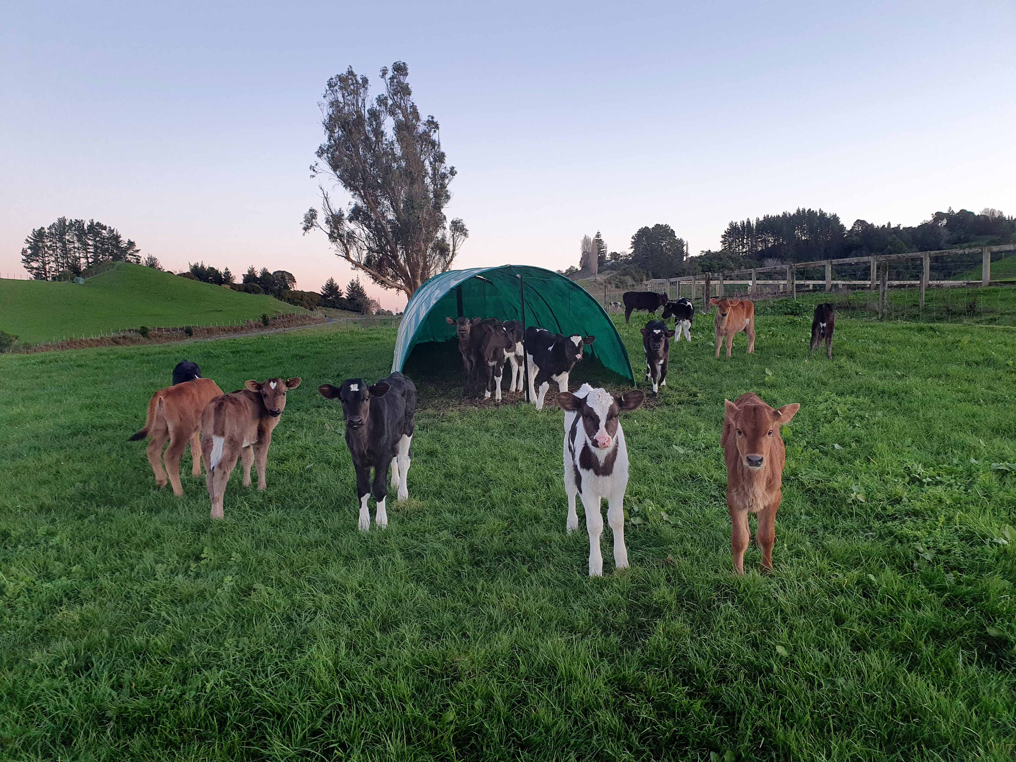 Calves at dusk, Otorohanga
